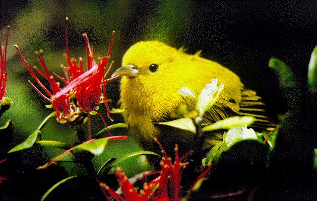 ʻAnianiau - Wikipedia