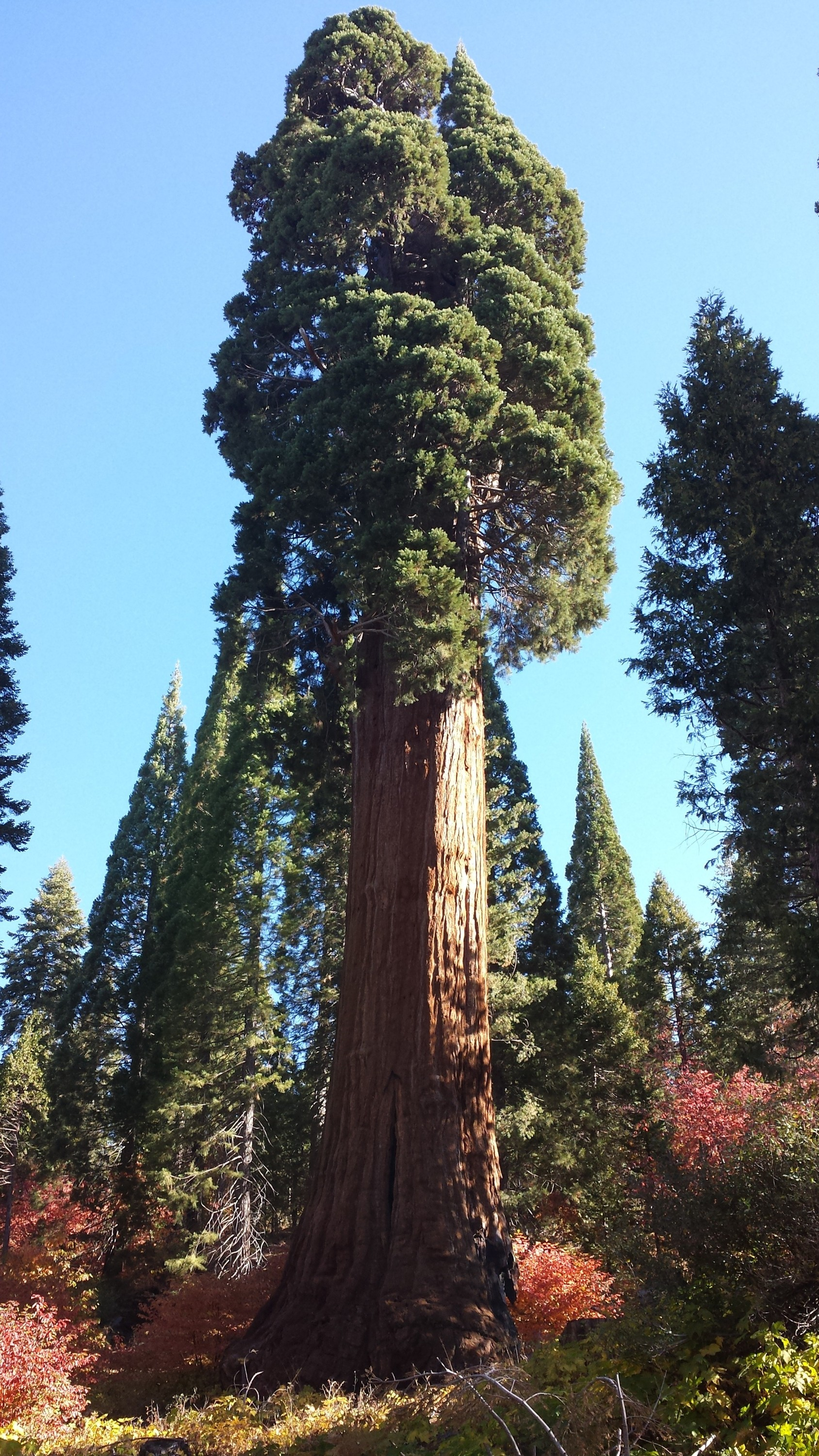 Methuselah (sequoia tree) - Wikiwand