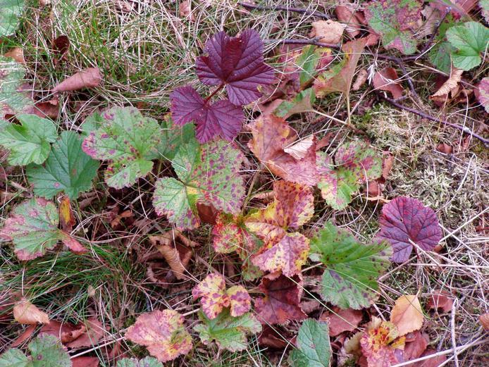 File:Naturschutzgebiet Plackenmoor- Moltebeere in Herbstverfaerbung.jpg