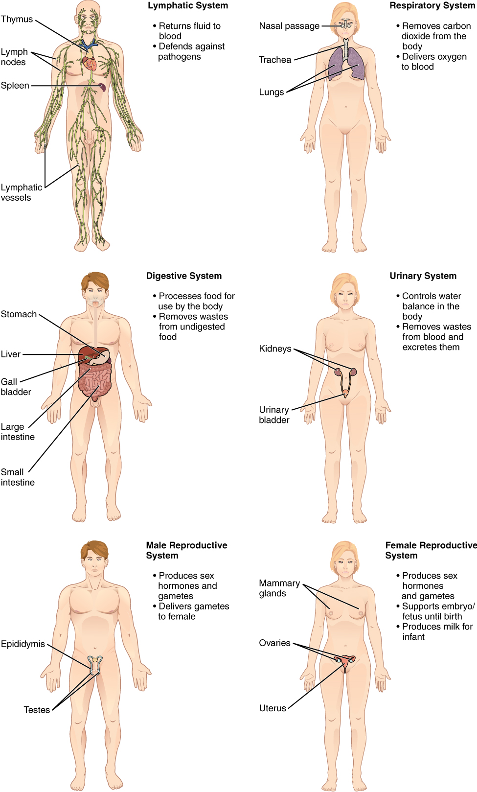 Organs In Thoracic Cavity furthermore Multiple choice quiz 1 moreover 15256432 as well Organs Of The Abdominopelvic Cavity besides Respiratory System. on human body cavities with organs labeled
