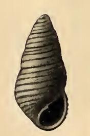 <i>Oscilla circinata</i> species of mollusc