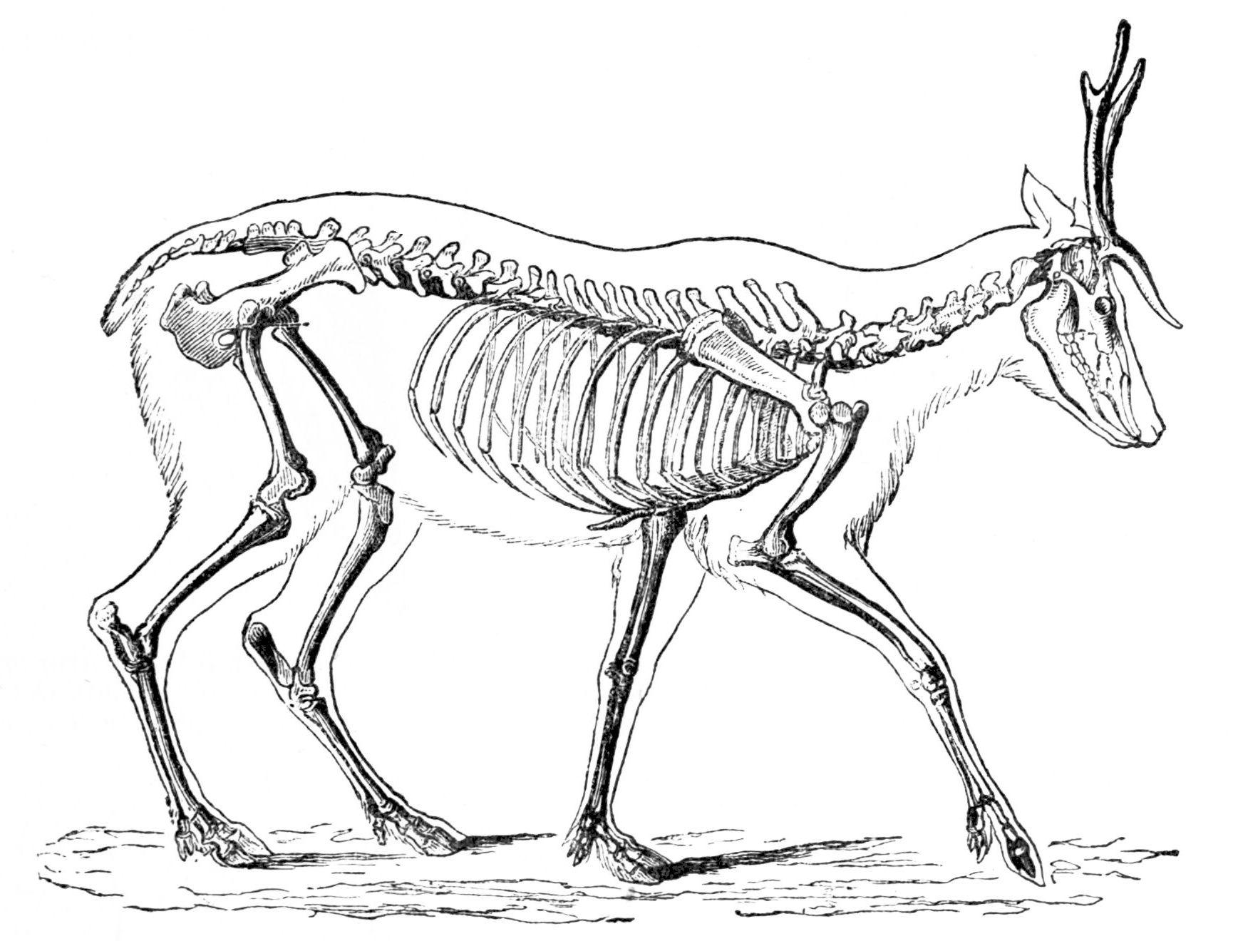Goat Muscle Diagram Pig Organs Diagram ~ Elsavadorla