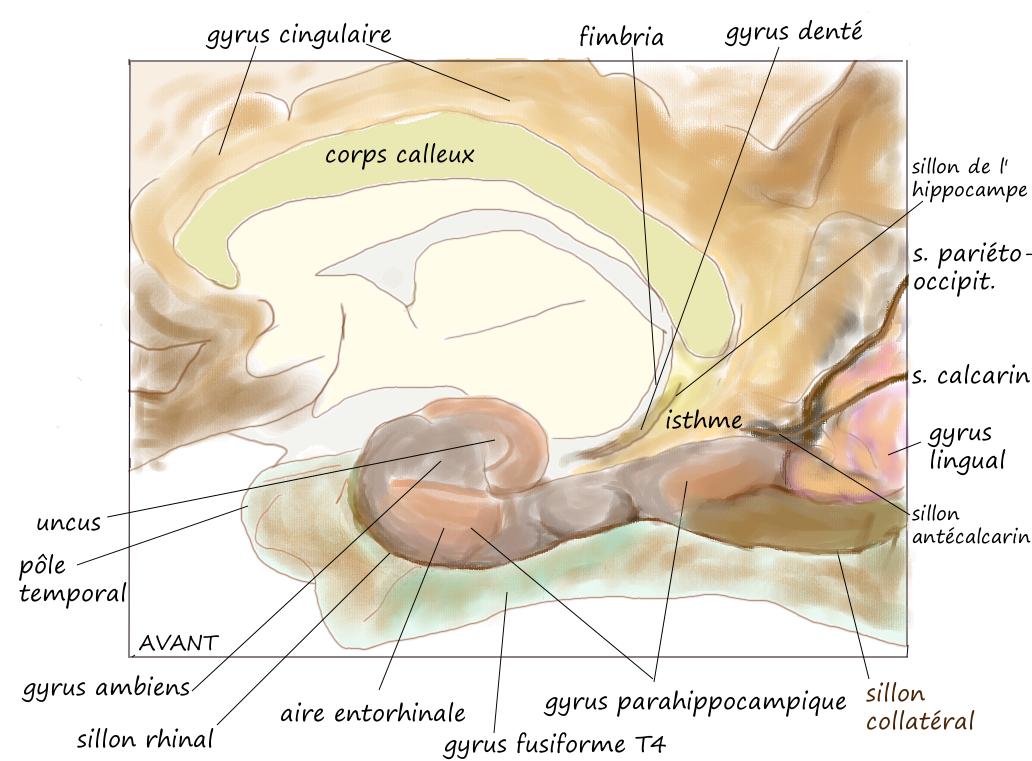 gyrus parahippocampique - Pancrat - Wikimedia Commons