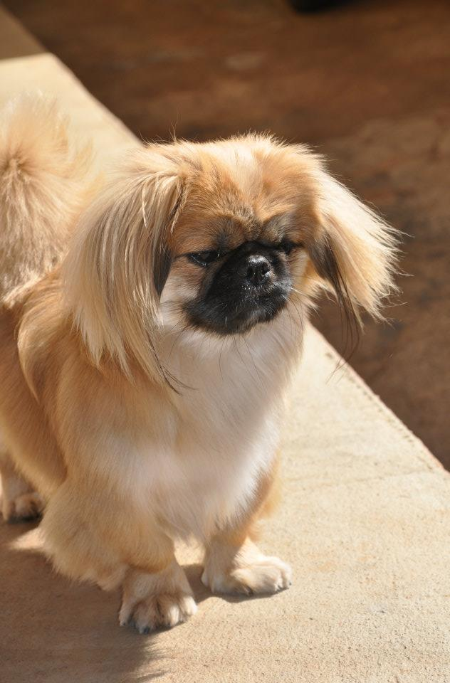 Different Types Of Schnauzer Haircuts Hairstyle Gallery