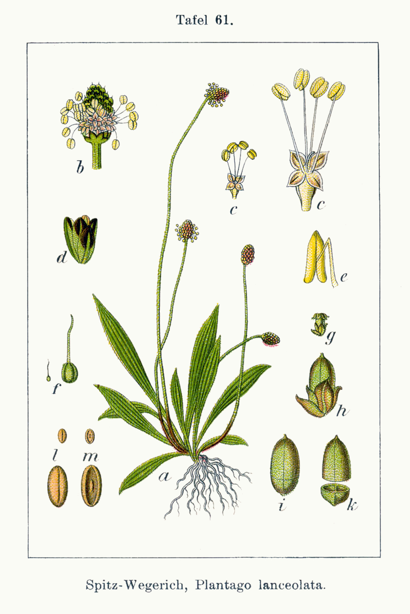 Plantago Major Drawing Plantago Lanceolata From The