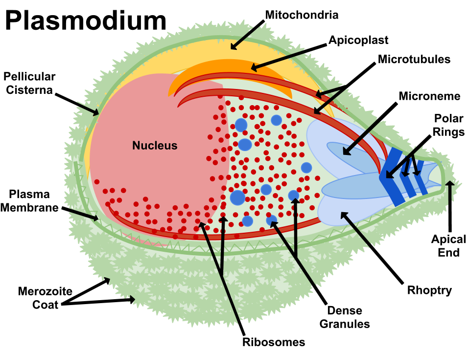 File:Plasmodium.png - Wikimedia Commons