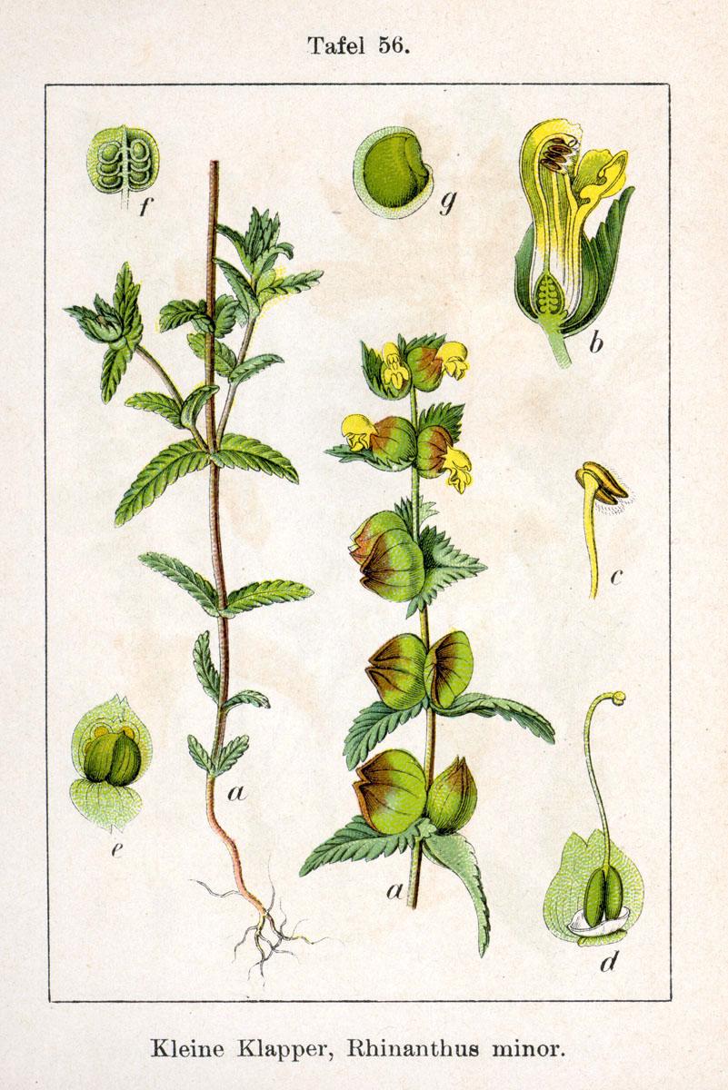 rhinanthus minor  u2014 wikip u00e9dia