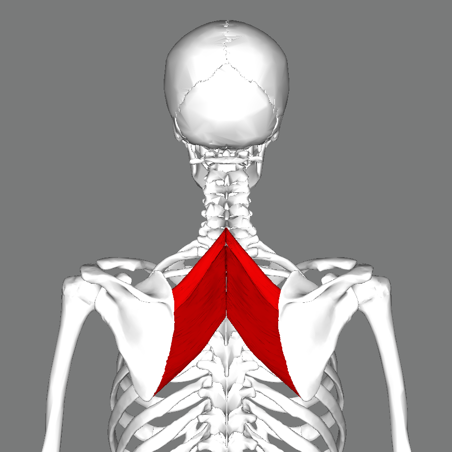 File:Rhomboid muscles back.png - Wikimedia Commons