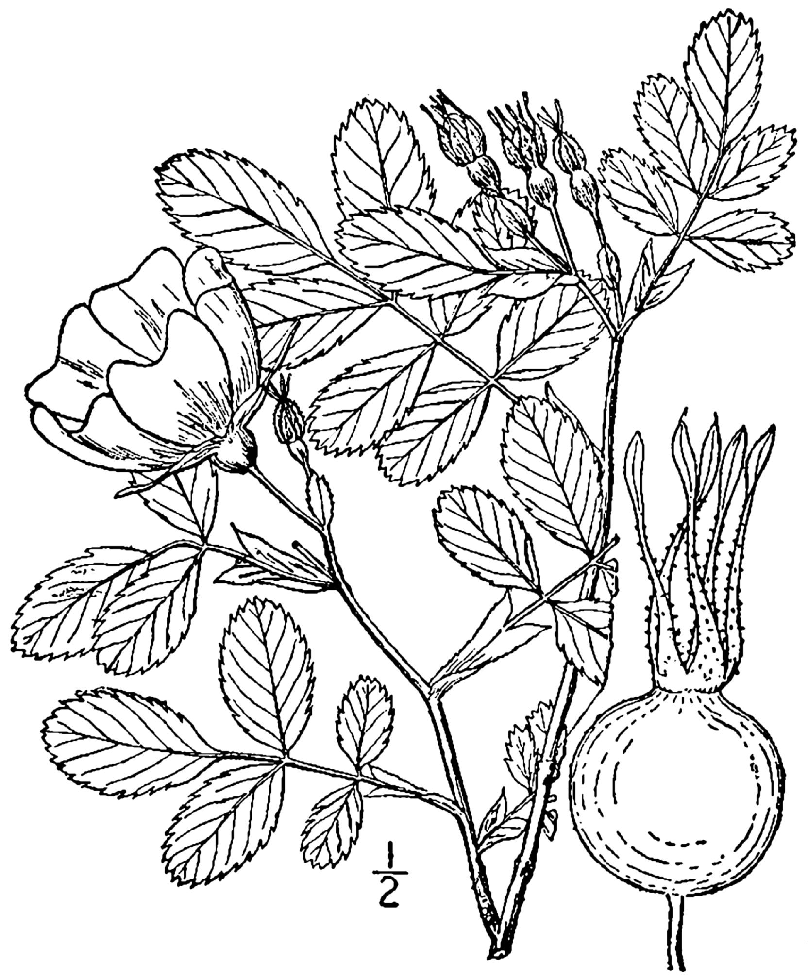 Description Rosa blanda BB-1913 pngRosa Blanda