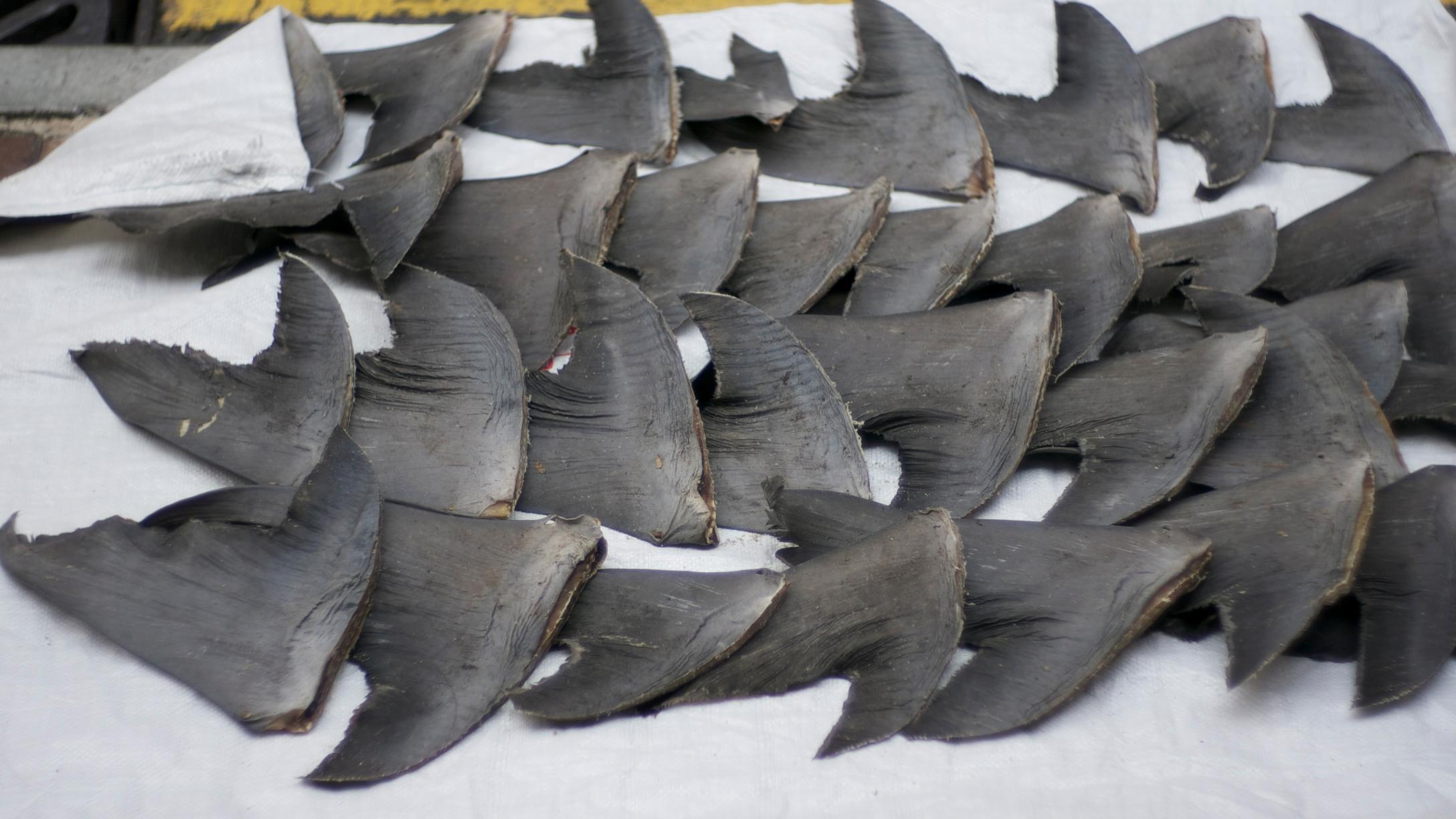 Žraločí ploutve, zdroj: Wikipedia