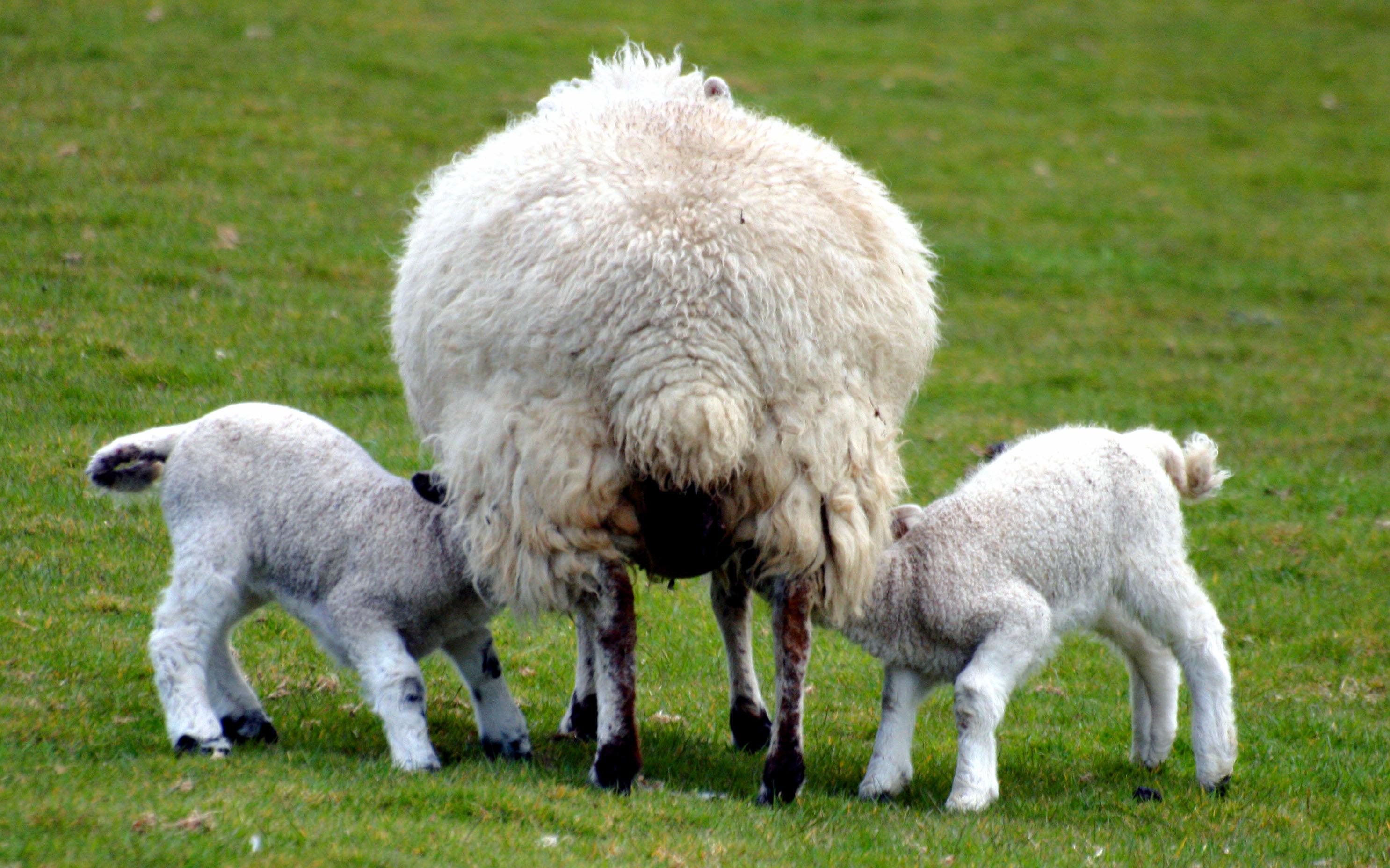Three sheep - photo#27