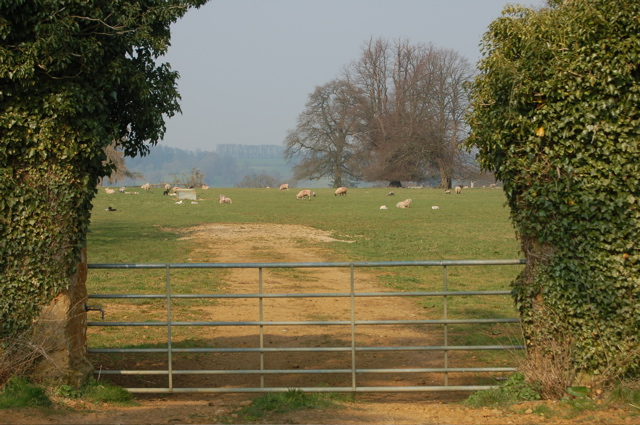 Sheep grazing in Great Tew Park - geograph.org.uk - 385673