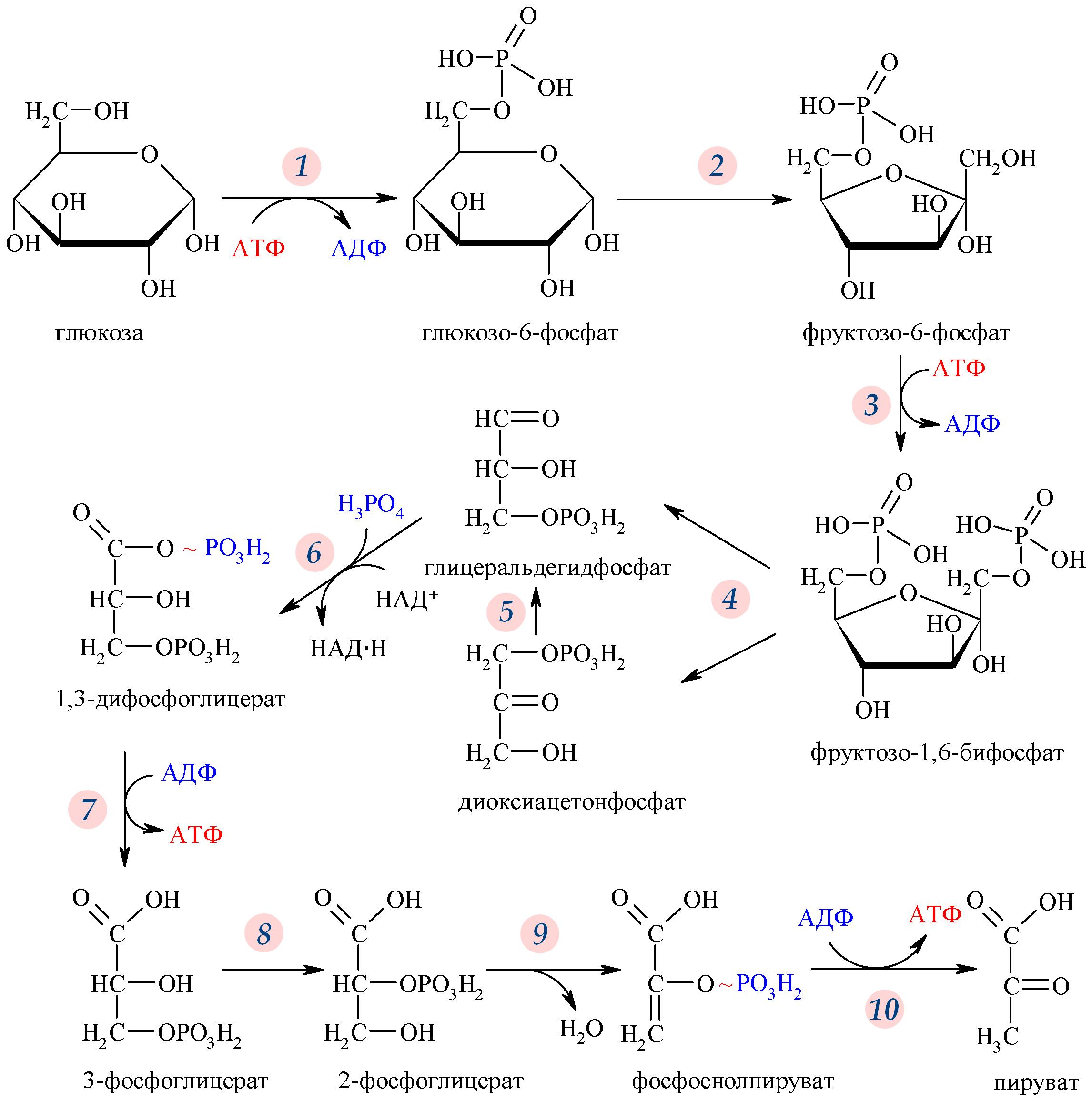 Схема центральных метаболических путей