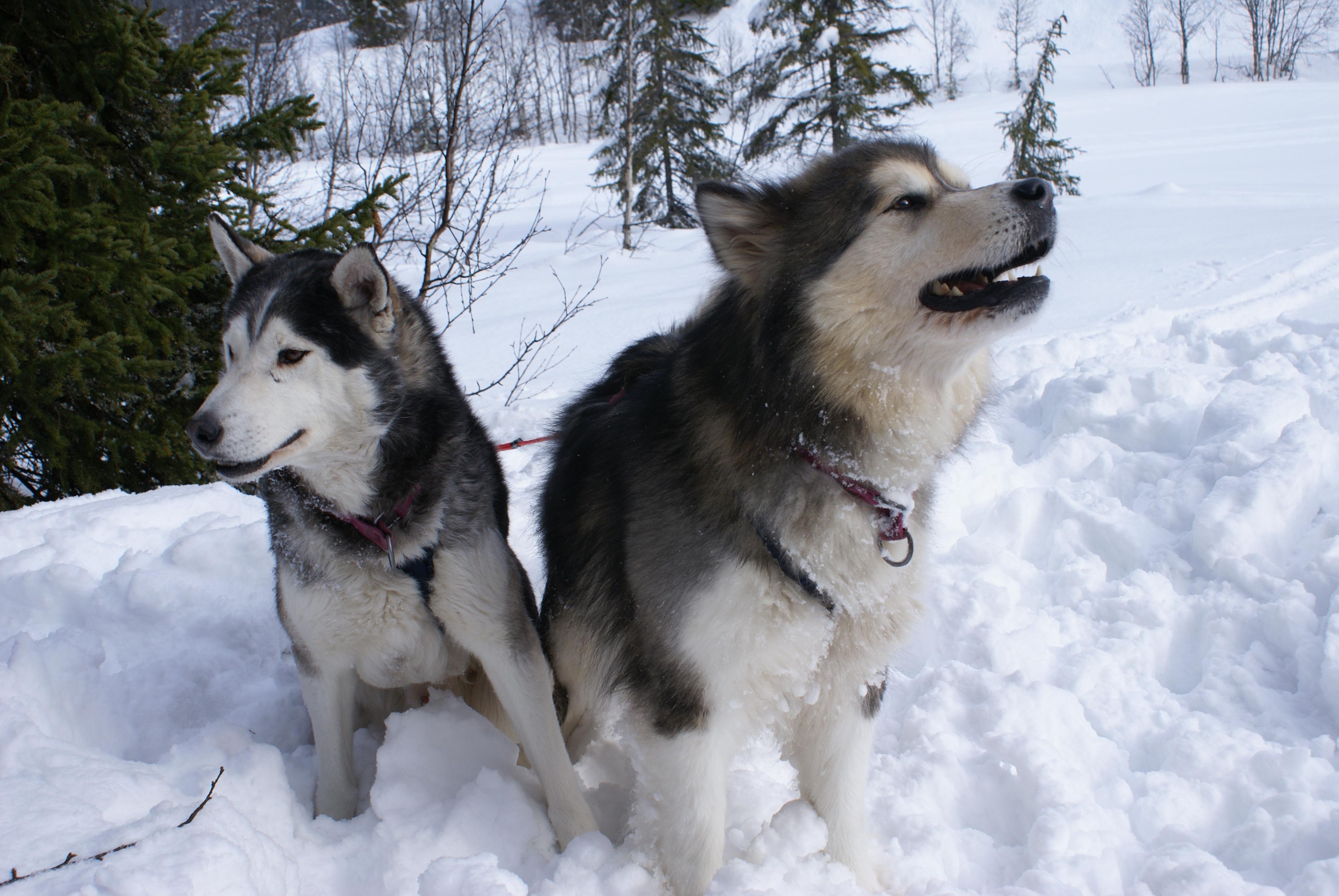 Alaskan Malamute y Siberian Husky