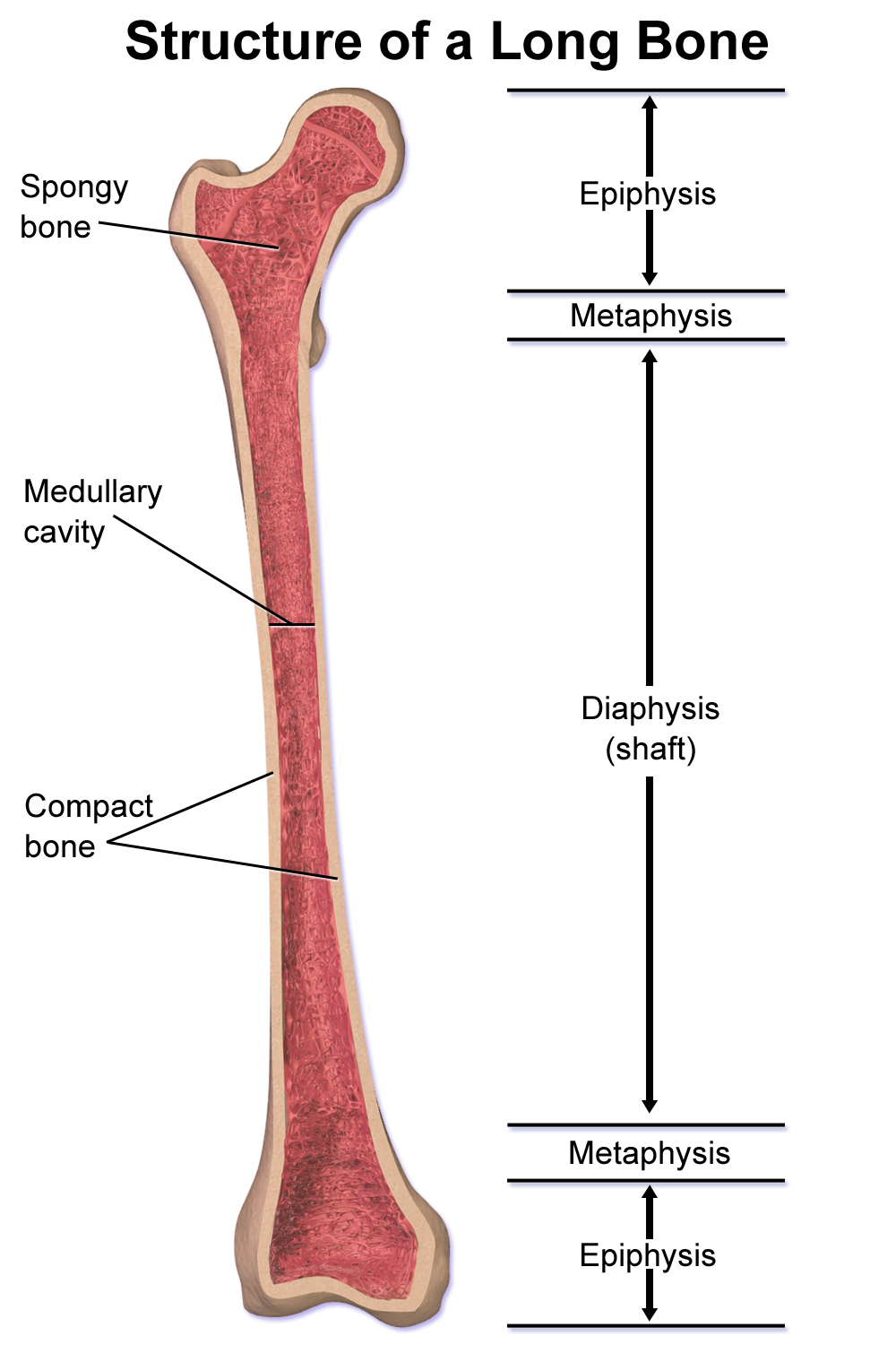 side view of hip bone diagram metaphysis - wikipedia proximal epiphysis long bone diagram