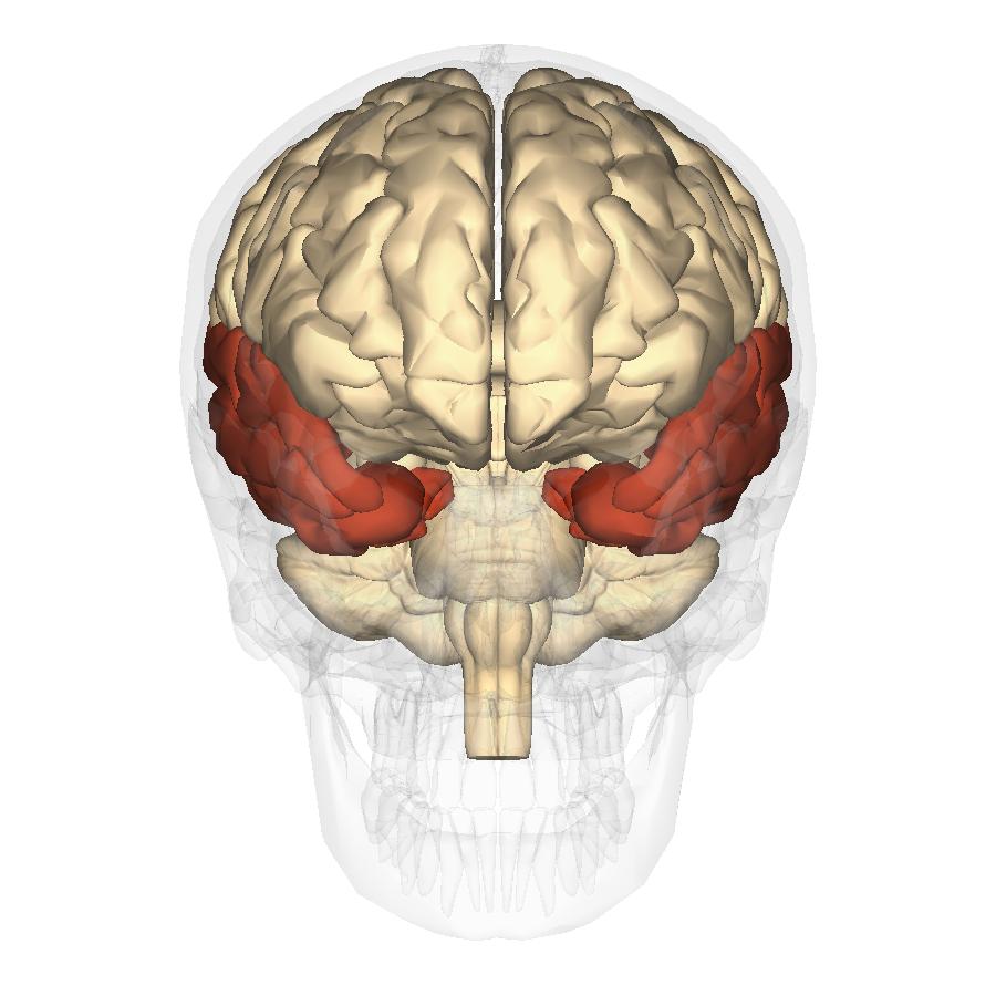 File:Temporal lobe - anterior view.png