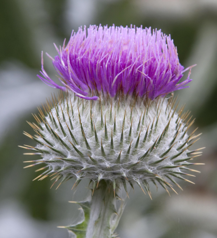 Filethistle Flower 4907295629jpg Wikimedia Commons