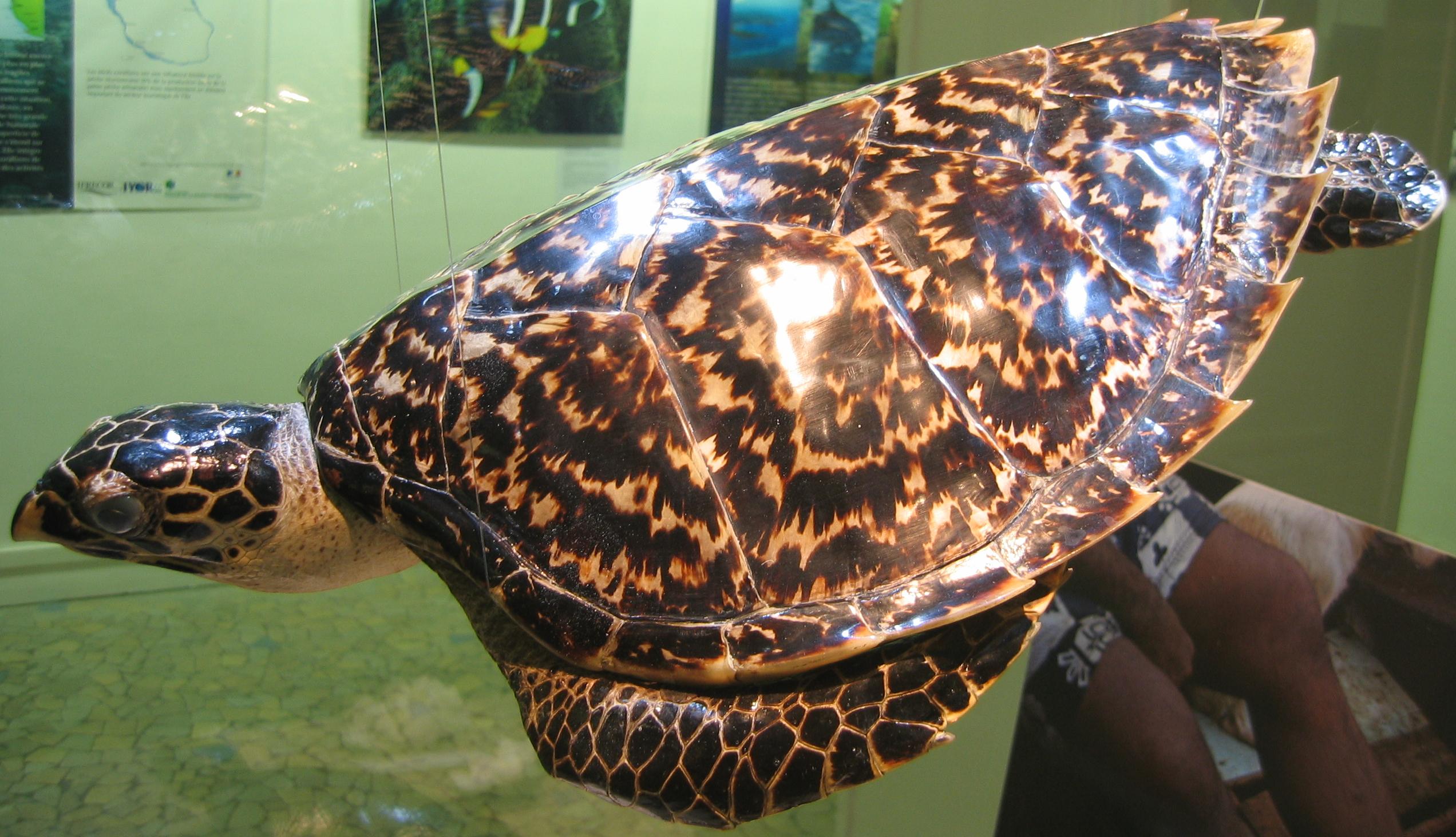 File tortue imbriqu e naturalis e aquarium porte dor e for Aquarium tortue