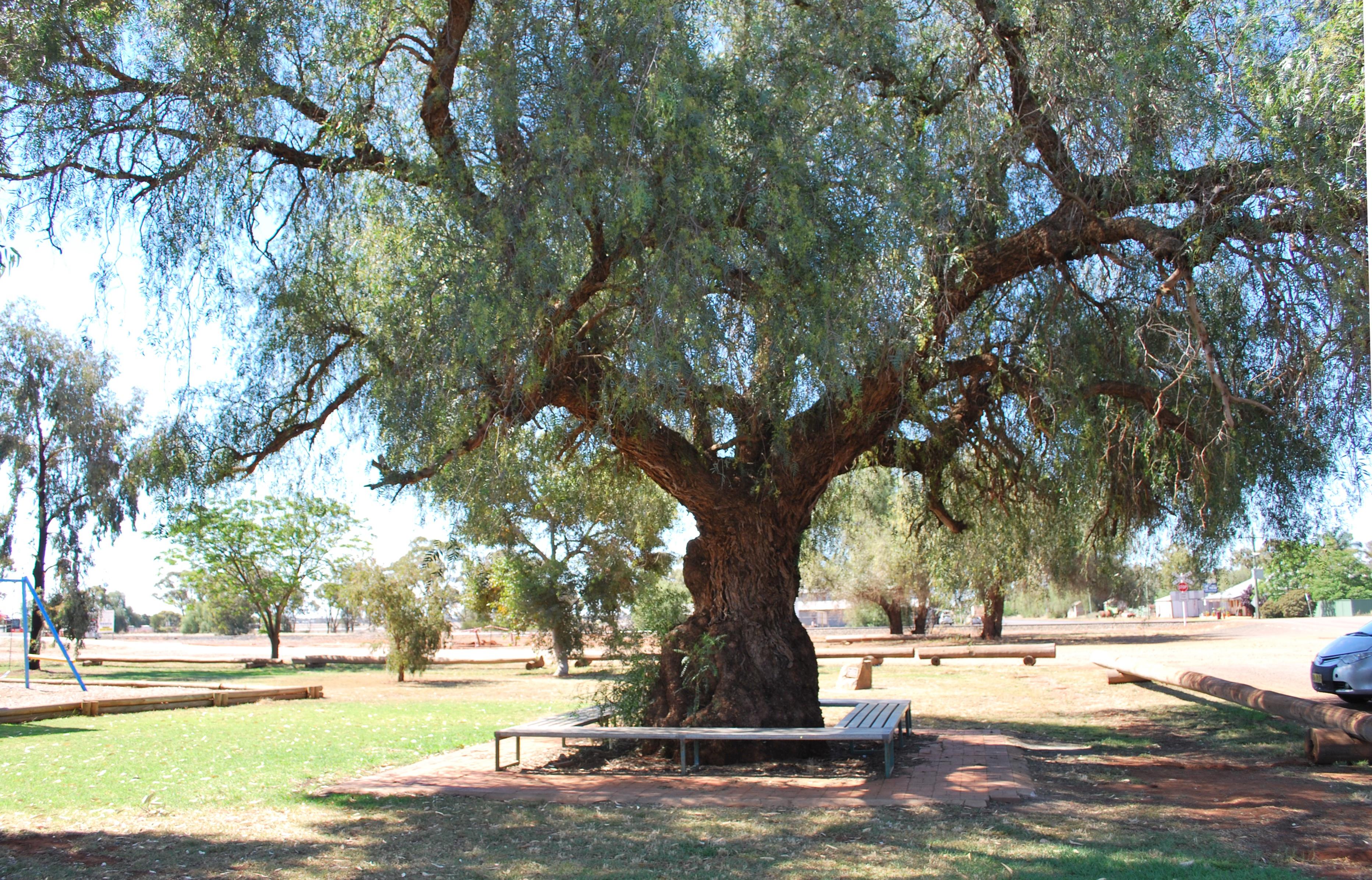 File Tullibigeal Pepper Tree 001 Jpg Wikimedia Commons