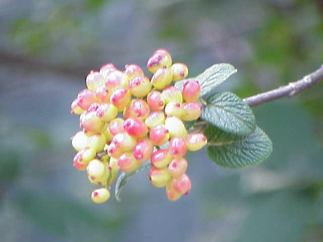 Viburnum lantana0