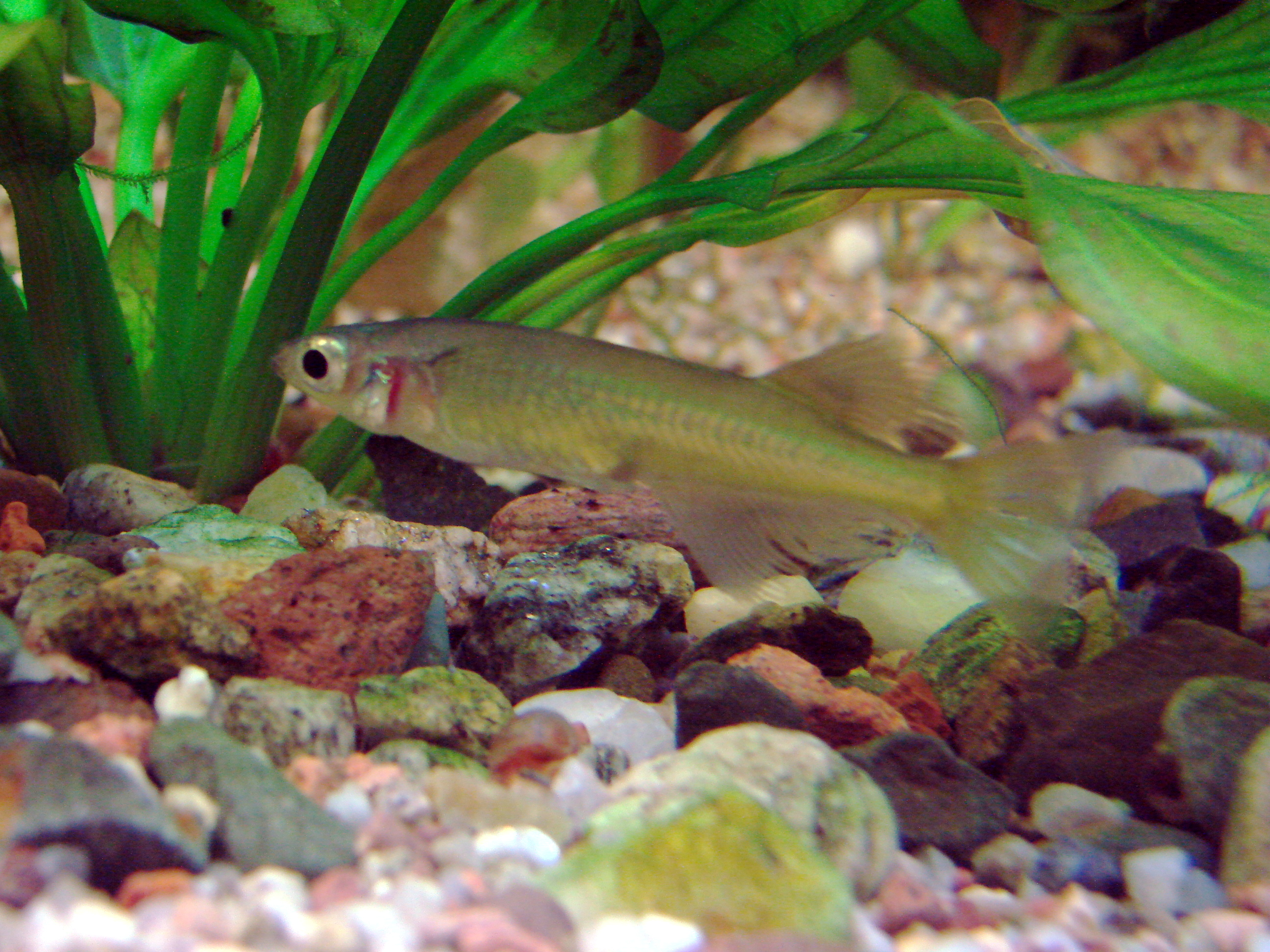Download 95 Koleksi Gambar Ikan Rono HD Terbaik