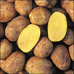 File:Yukon-gold-potatoes.jpg