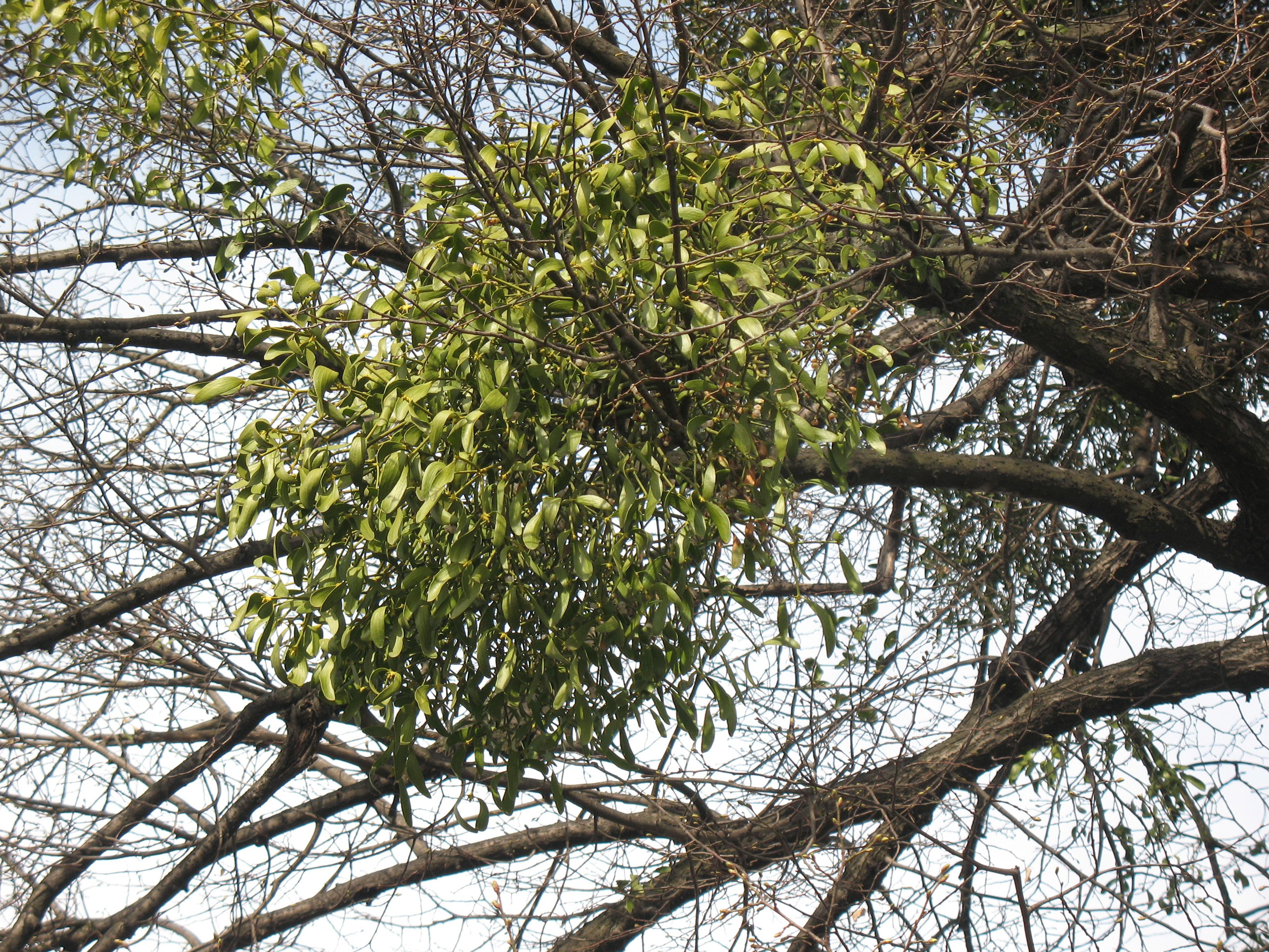 паразиты на деревьях амелия
