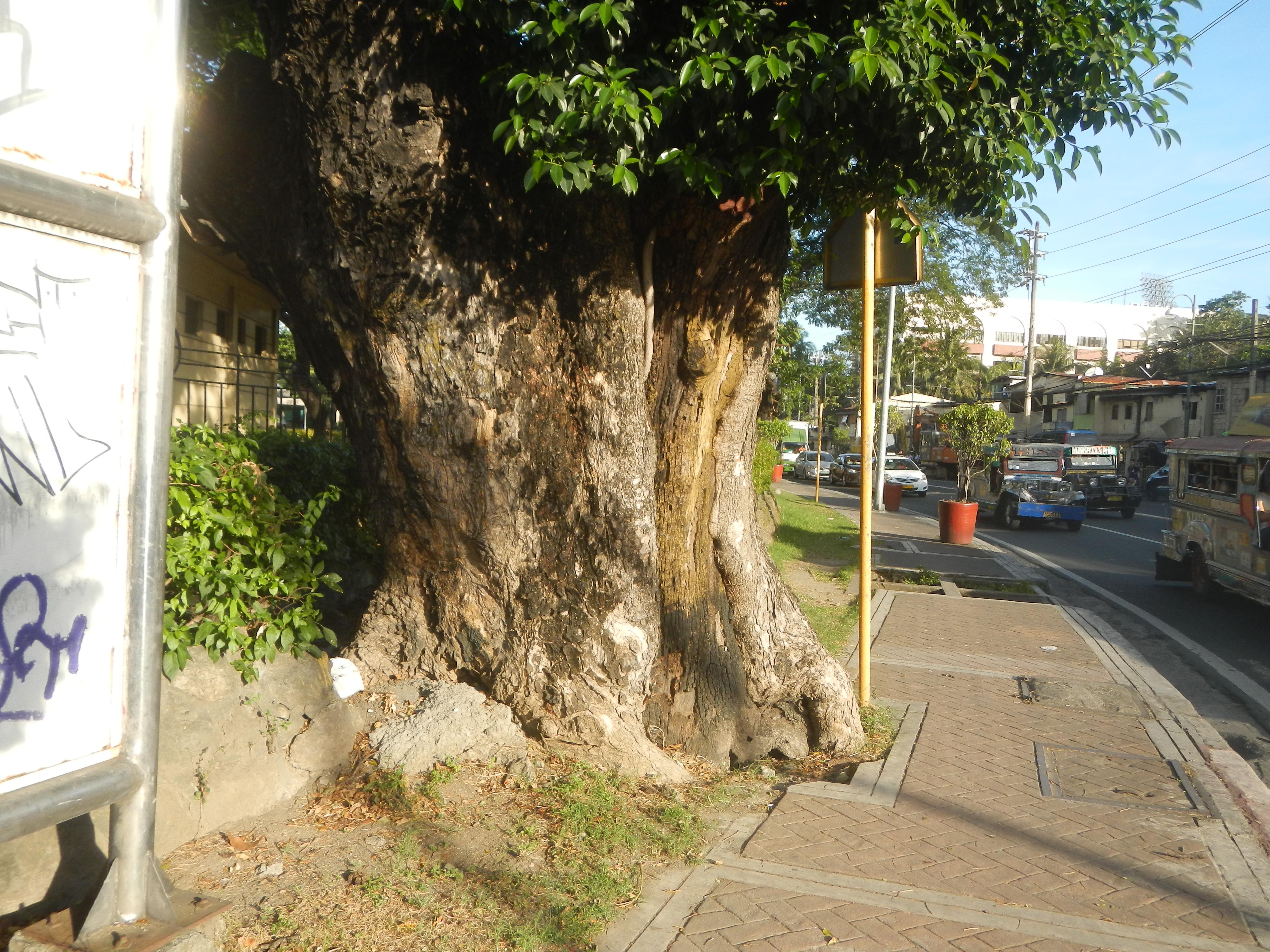 File:03533jfOld trees foodbridges Makati Park Garden J. P. Rizal ...