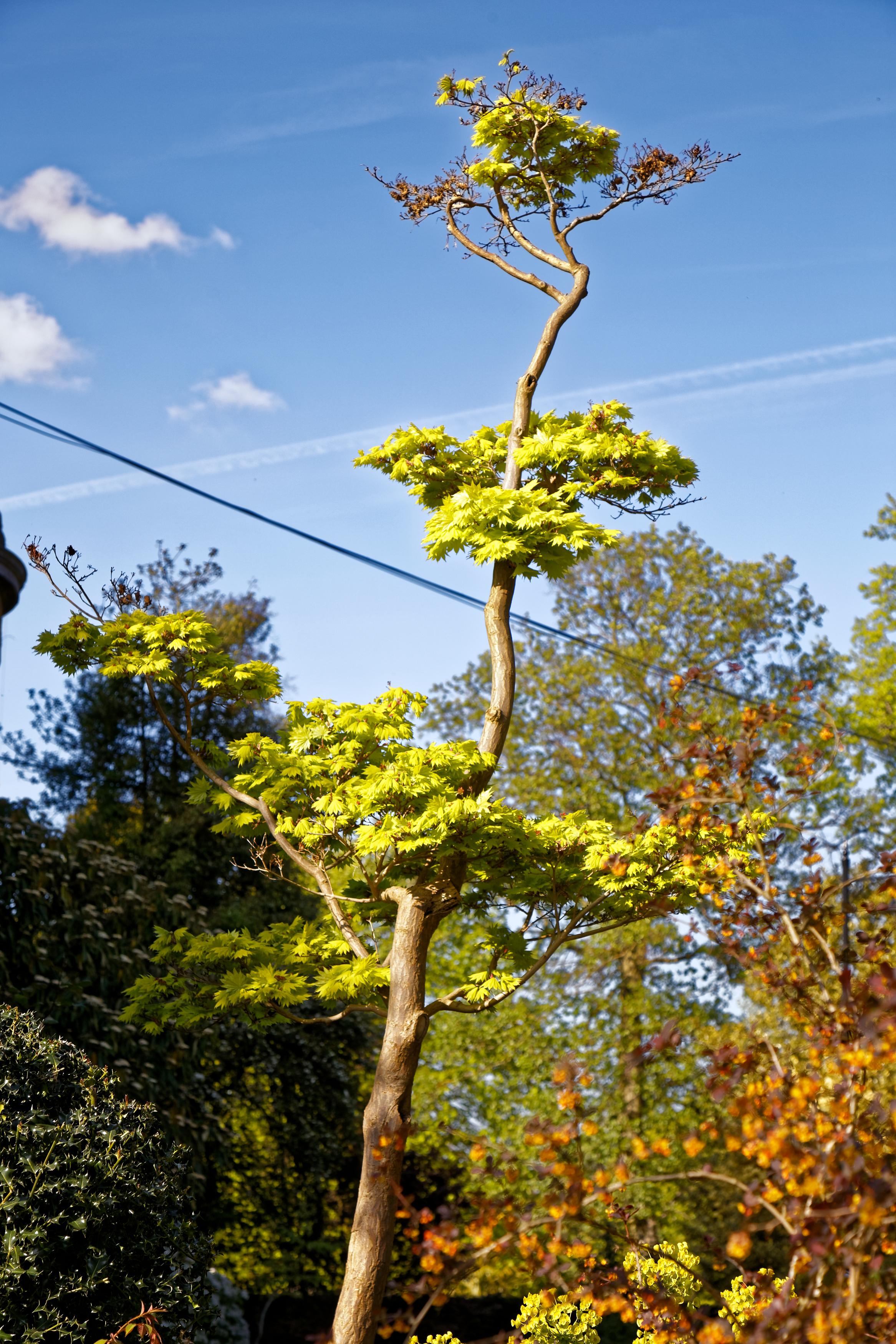 Fileacer Shirasawanum Aureum Golden Full Moon Maple At Myddelton