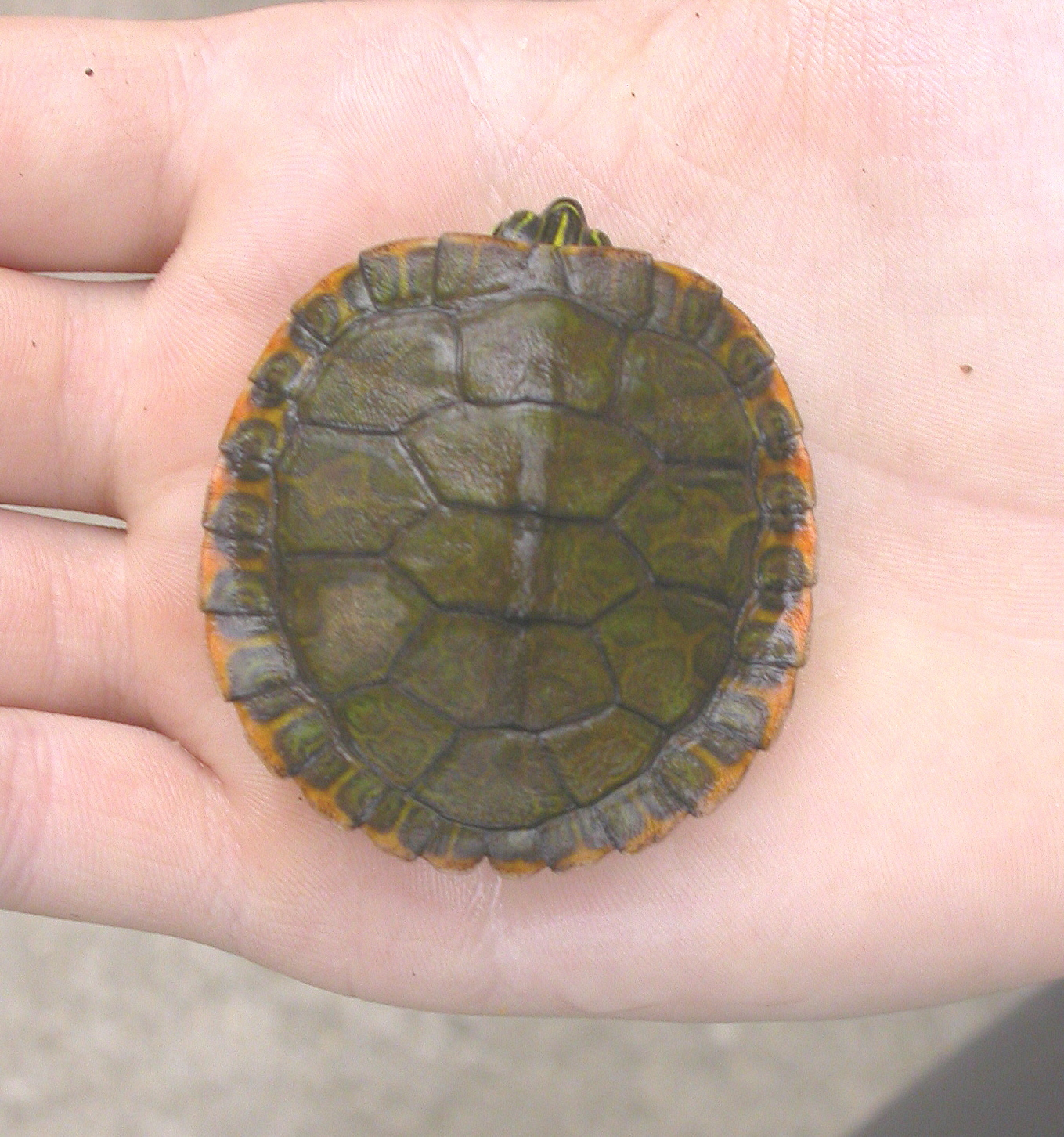 Alabama Red Bellied Turtle File Alabama Red Bellied