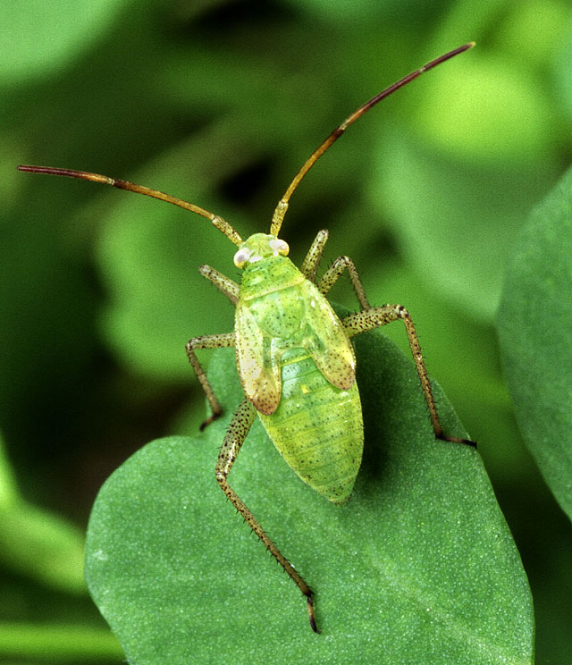 Description Alfalfa plant bug.jpg