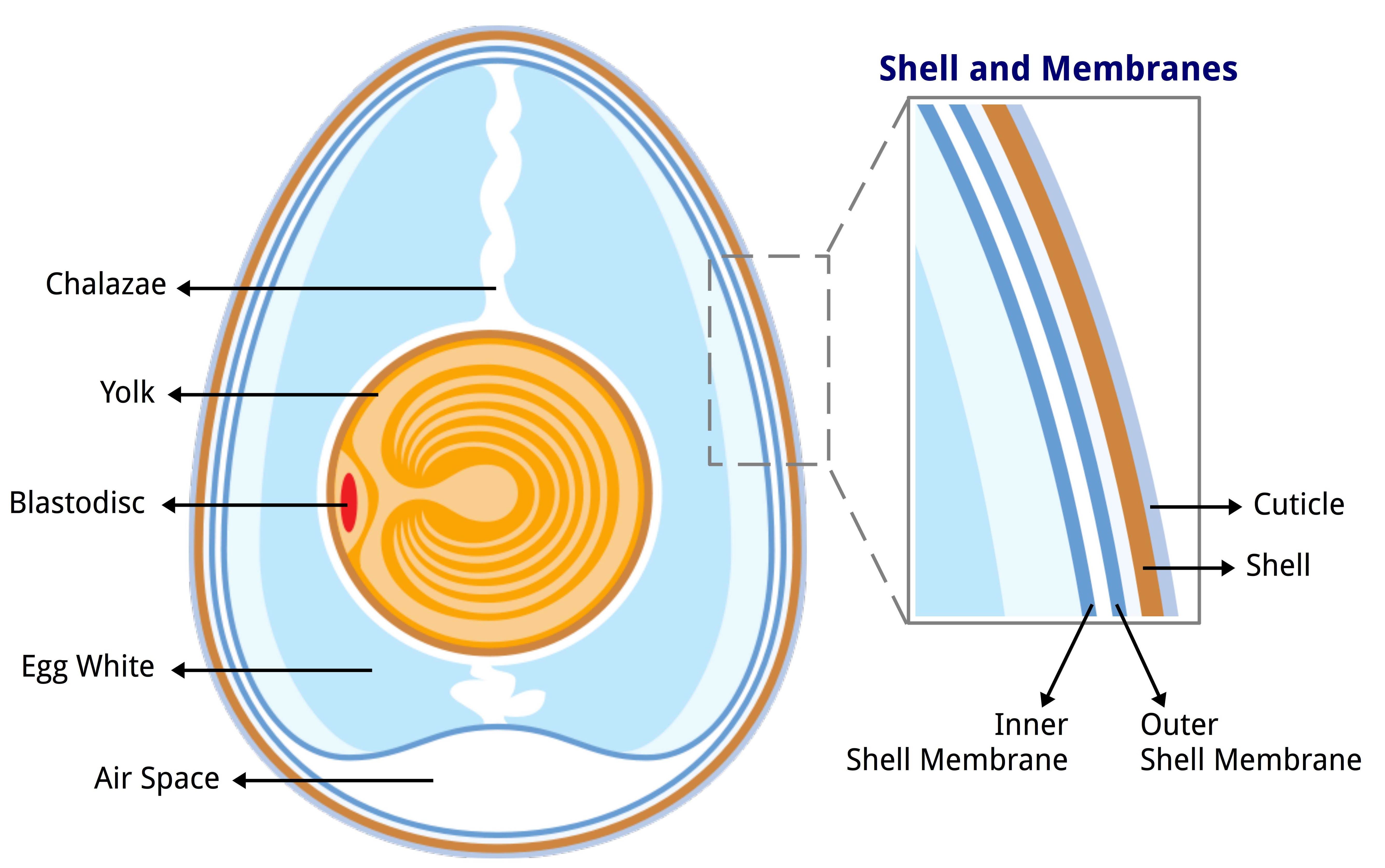 File:Anatomy of an egg labeled.jpg - Wikimedia Commons