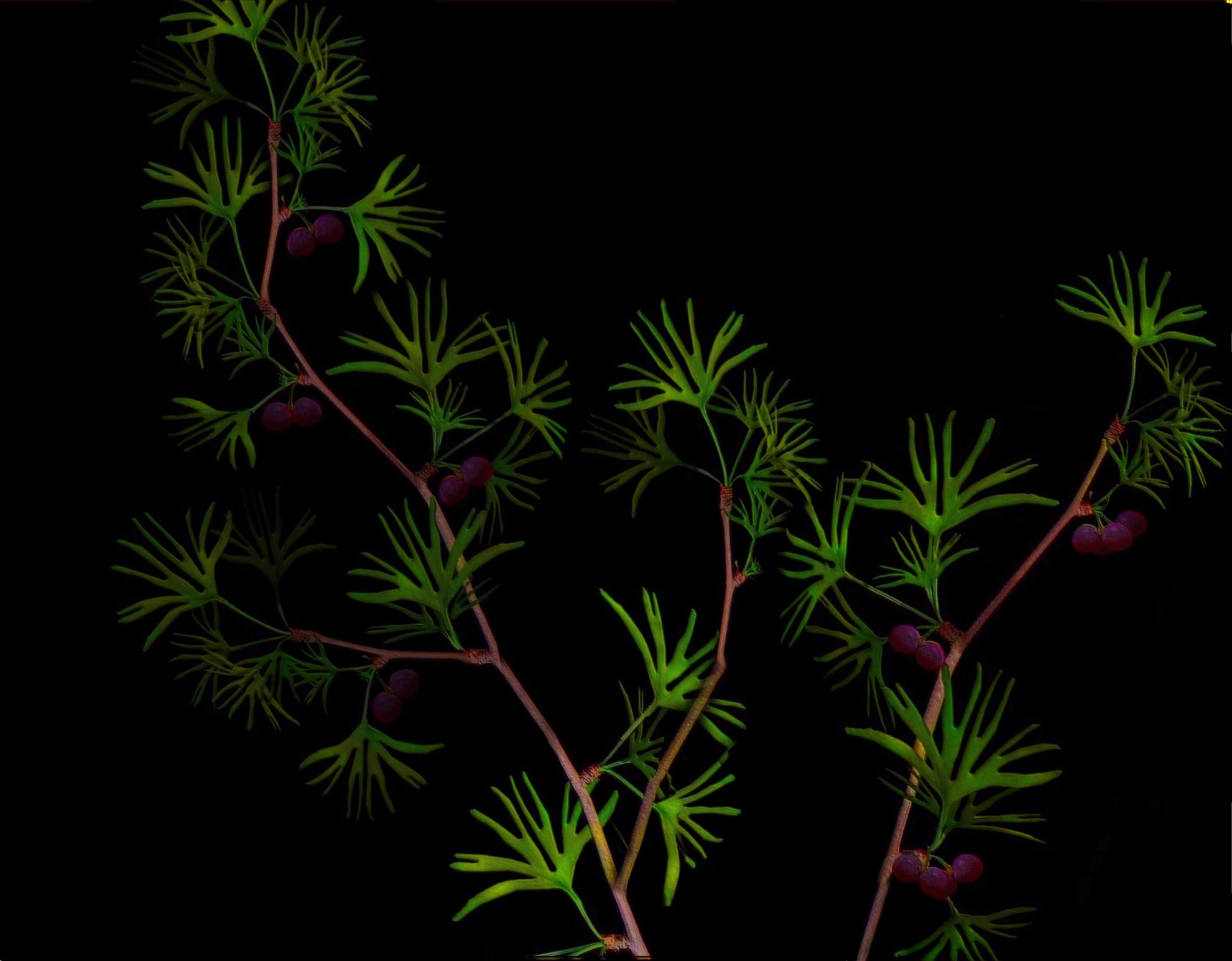 Depiction of Ginkgoaceae