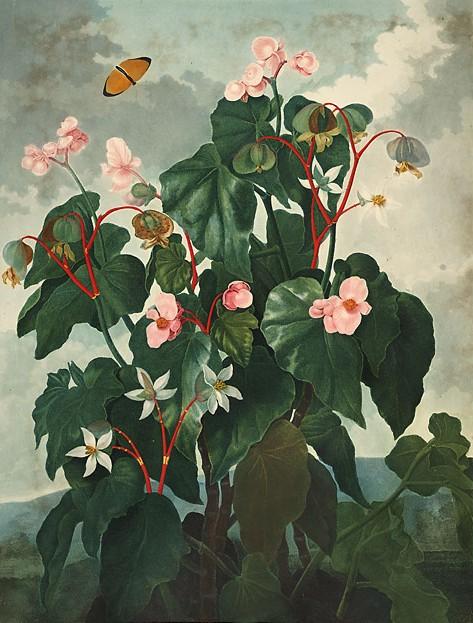 Begonia obliqua00jpg