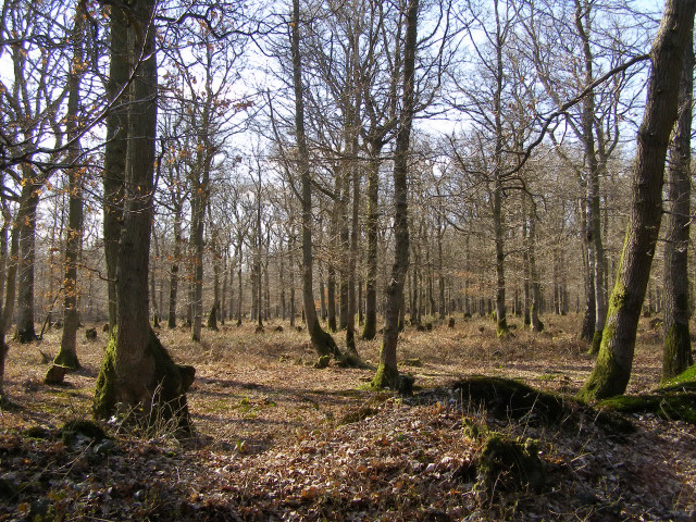 Burnt Lodge Copse, Harewood Forest - geograph.org.uk - 147463