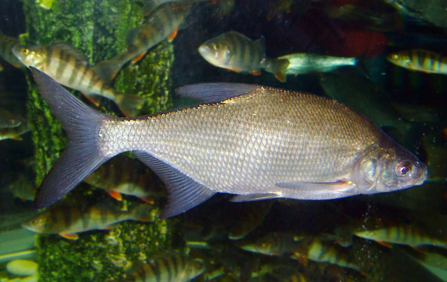Deverika (Abramis brama) Carp_bream1