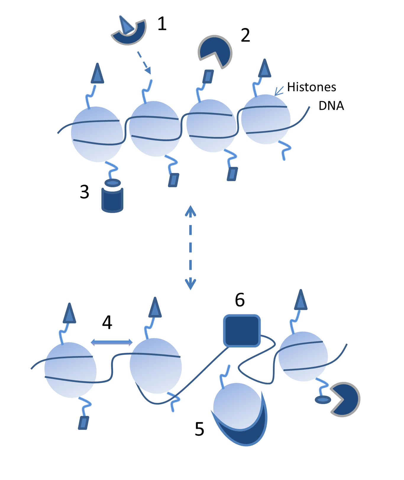 File:Chromatin Structure And Binding Proteins Can Affect