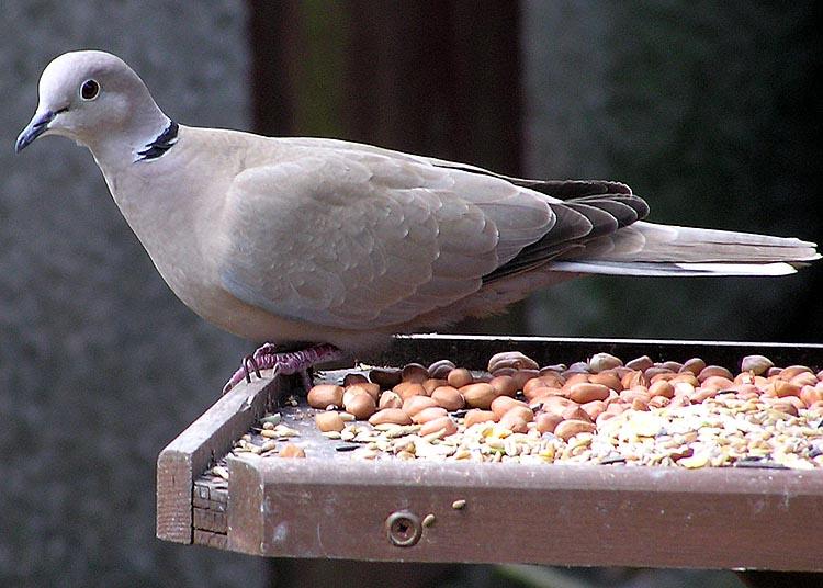 Dosya:Collared.dove.jpg