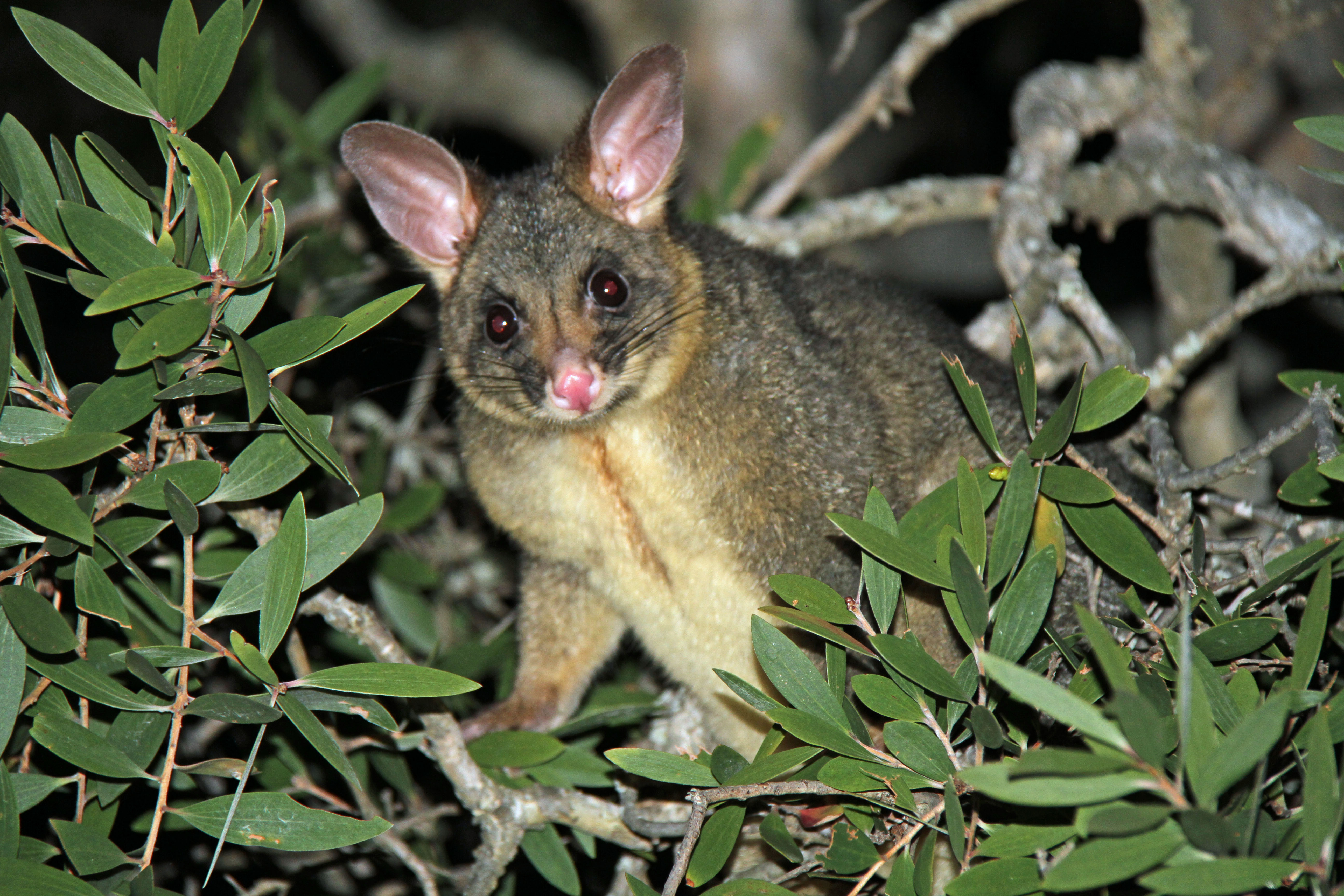 file common brushtail possum - flickr - gregthebusker jpg