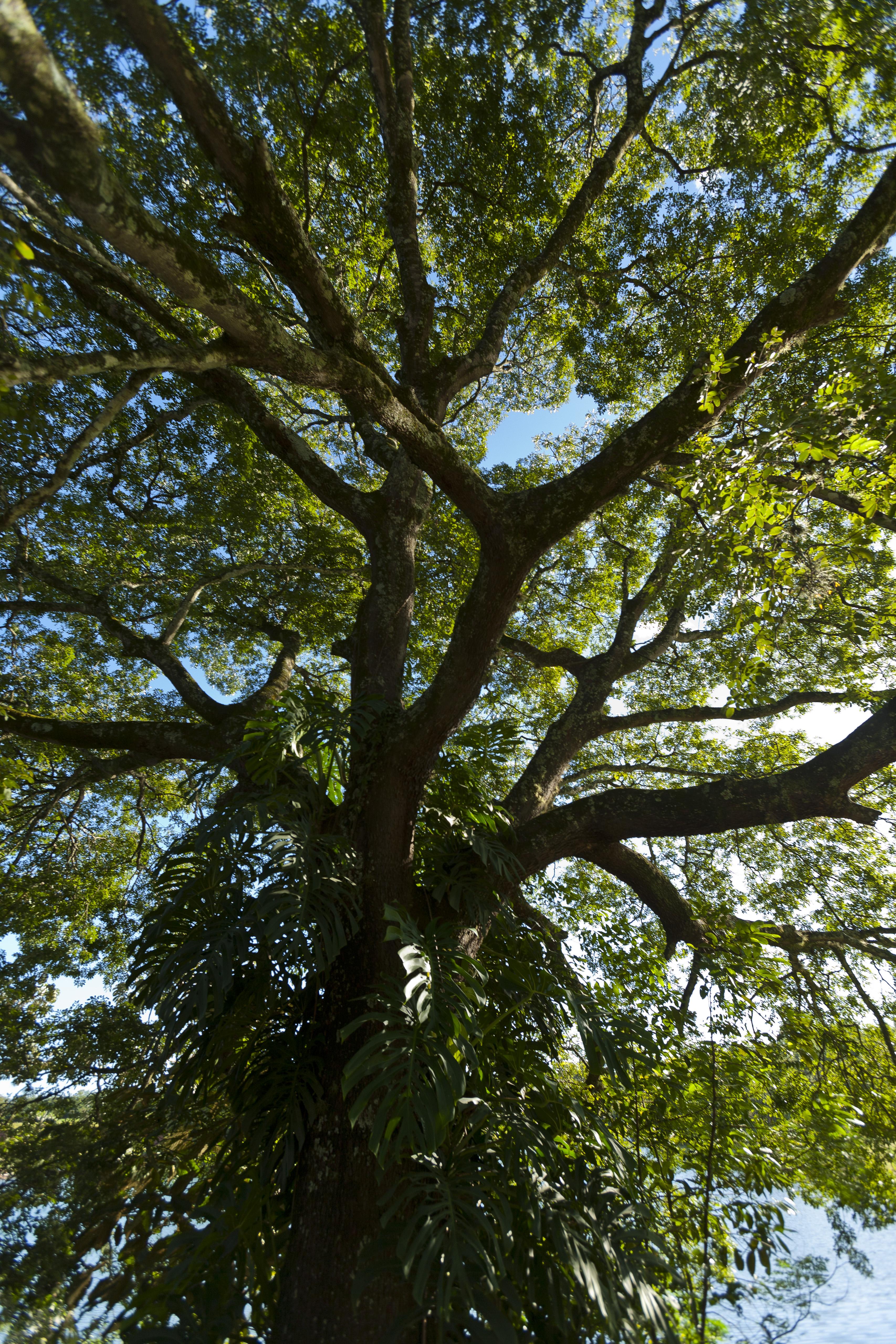 File:Copaiba tree vertical.jpg - Wikimedia Commons