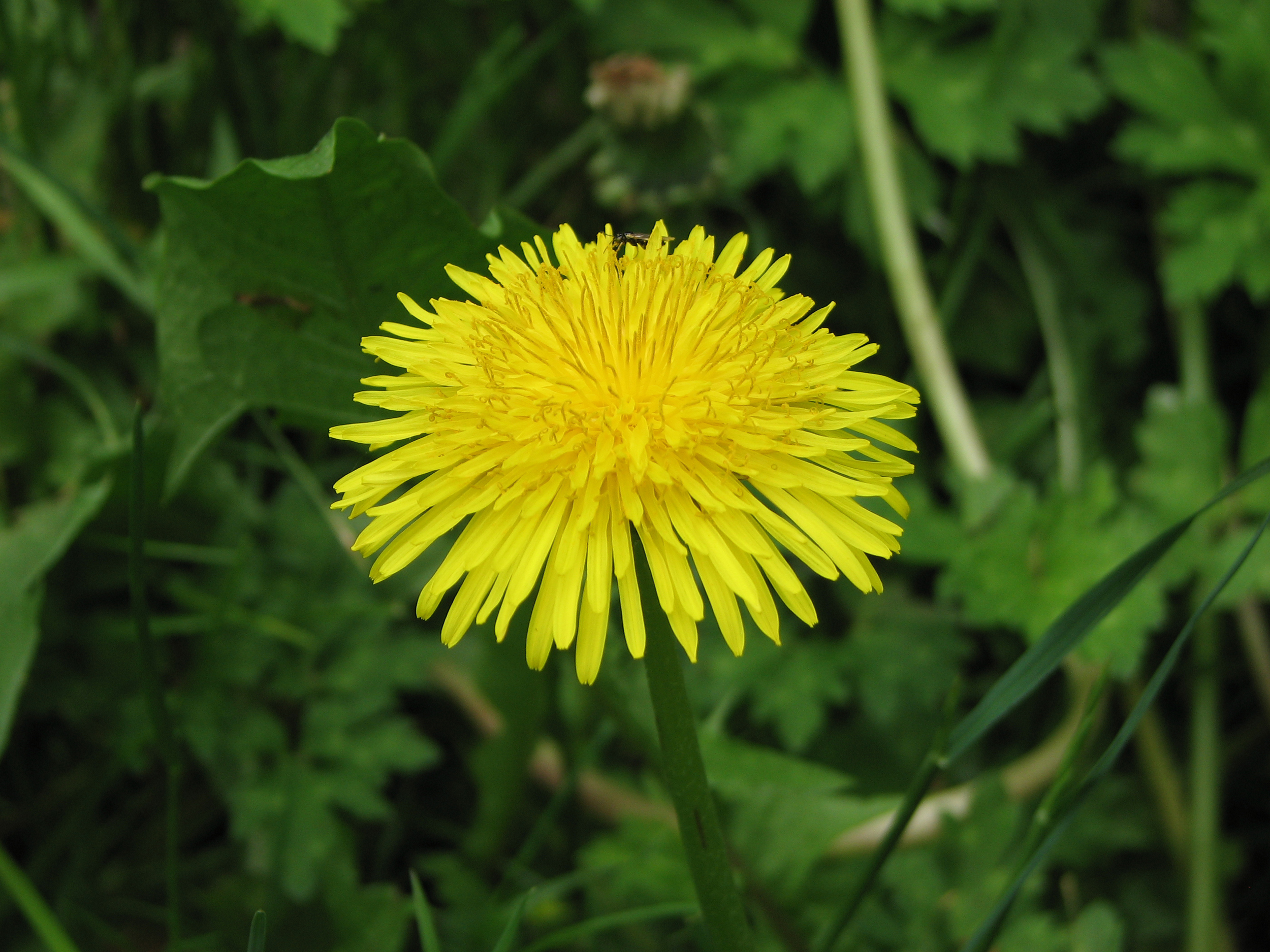file:dandelion flower taraxacum - wikimedia commons