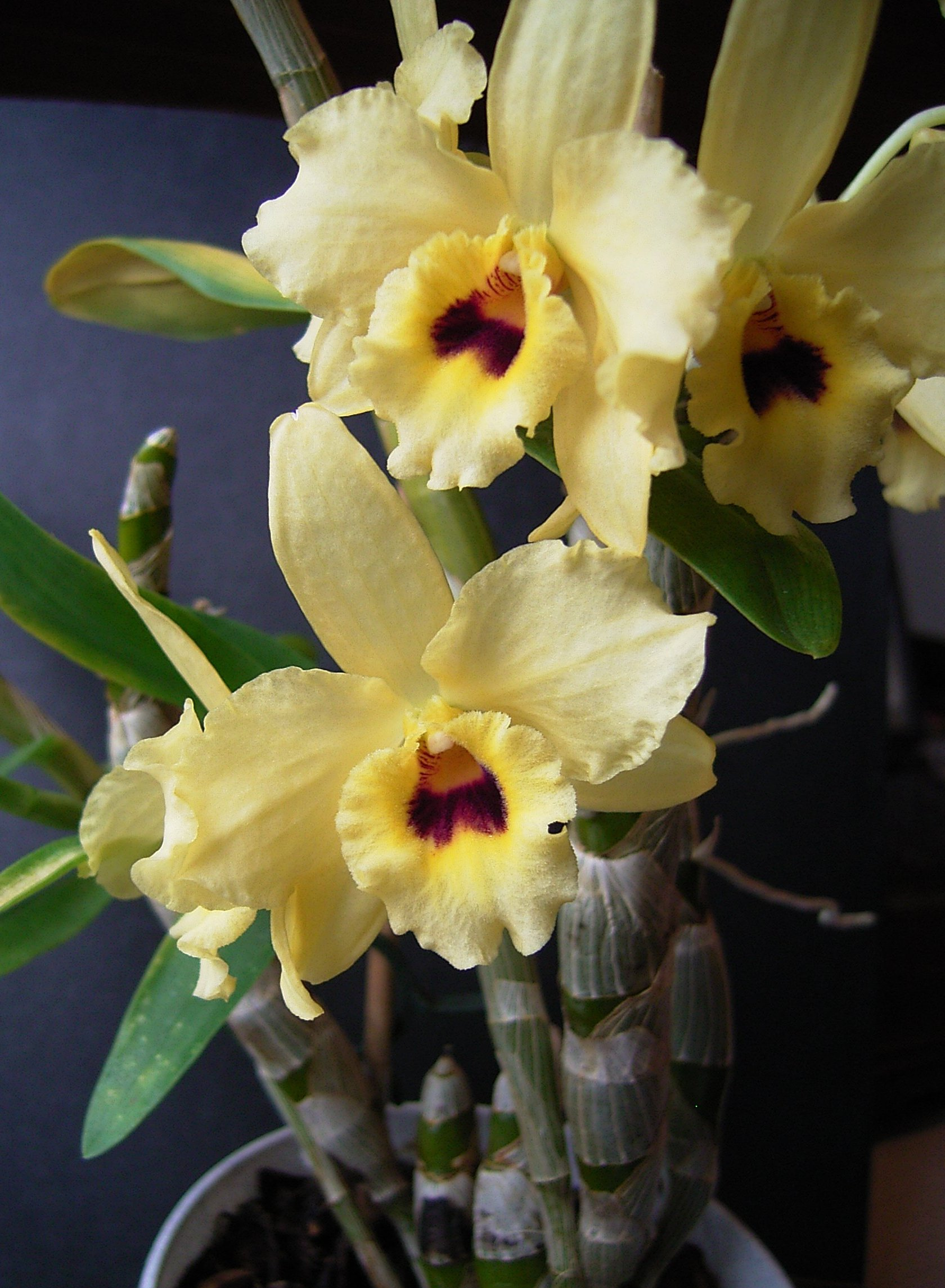 http://upload.wikimedia.org/wikipedia/commons/f/fb/Dendrobium_nobile_hybrid.jpg