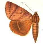 <i>Thyas metaphaea</i> species of insect