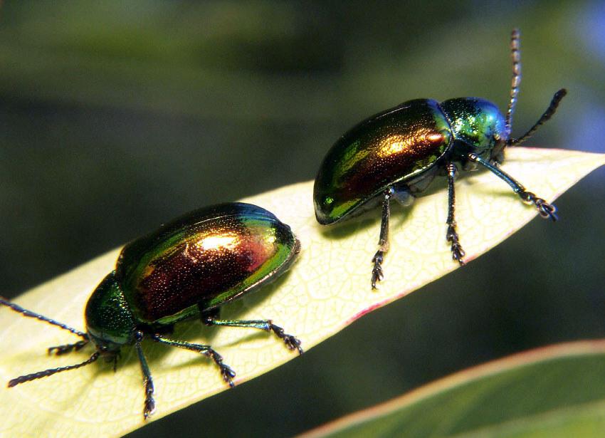 Leaf Beetle File:Dogbane leaf beet...