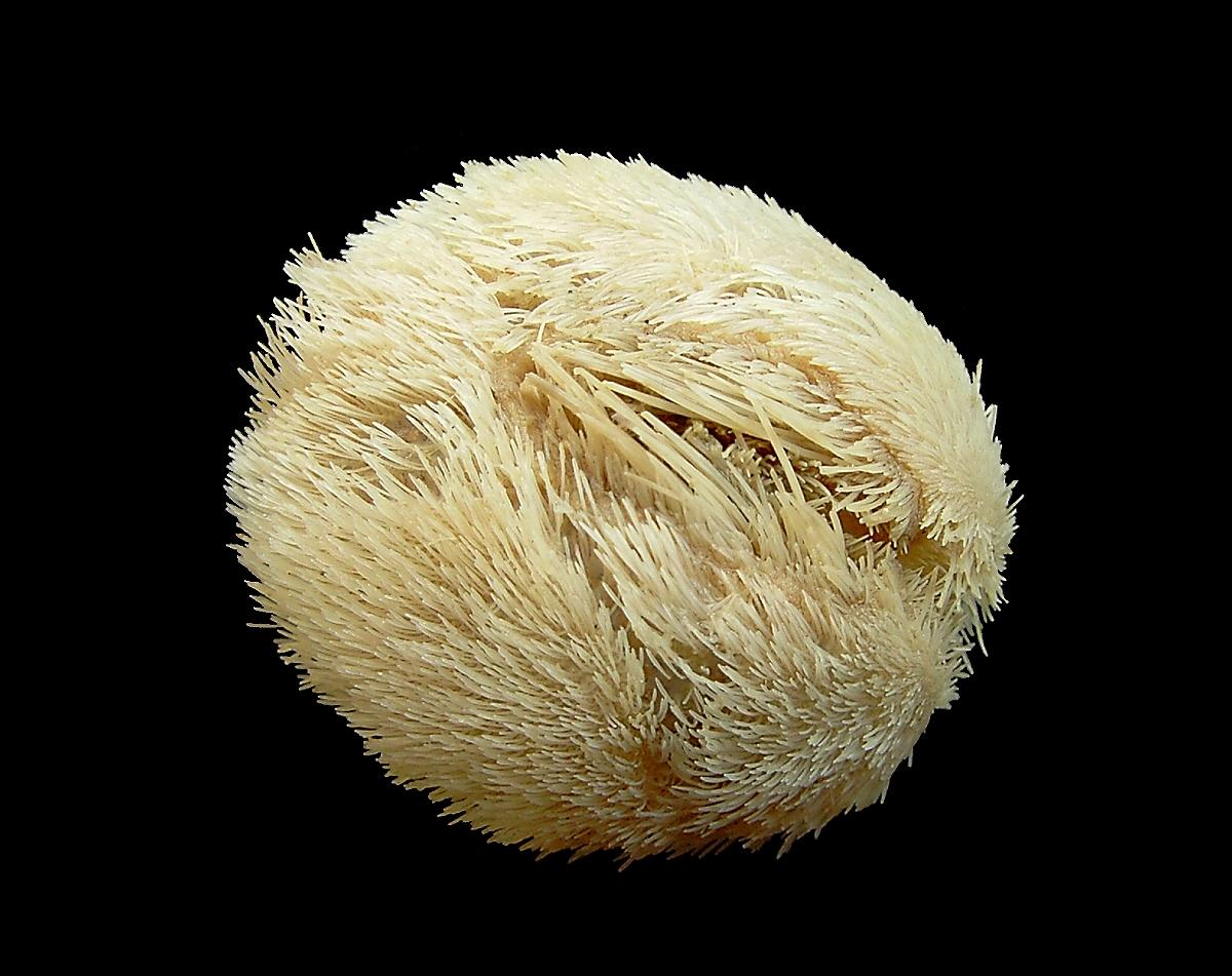 Echinocardium Cordatum Wikipedia