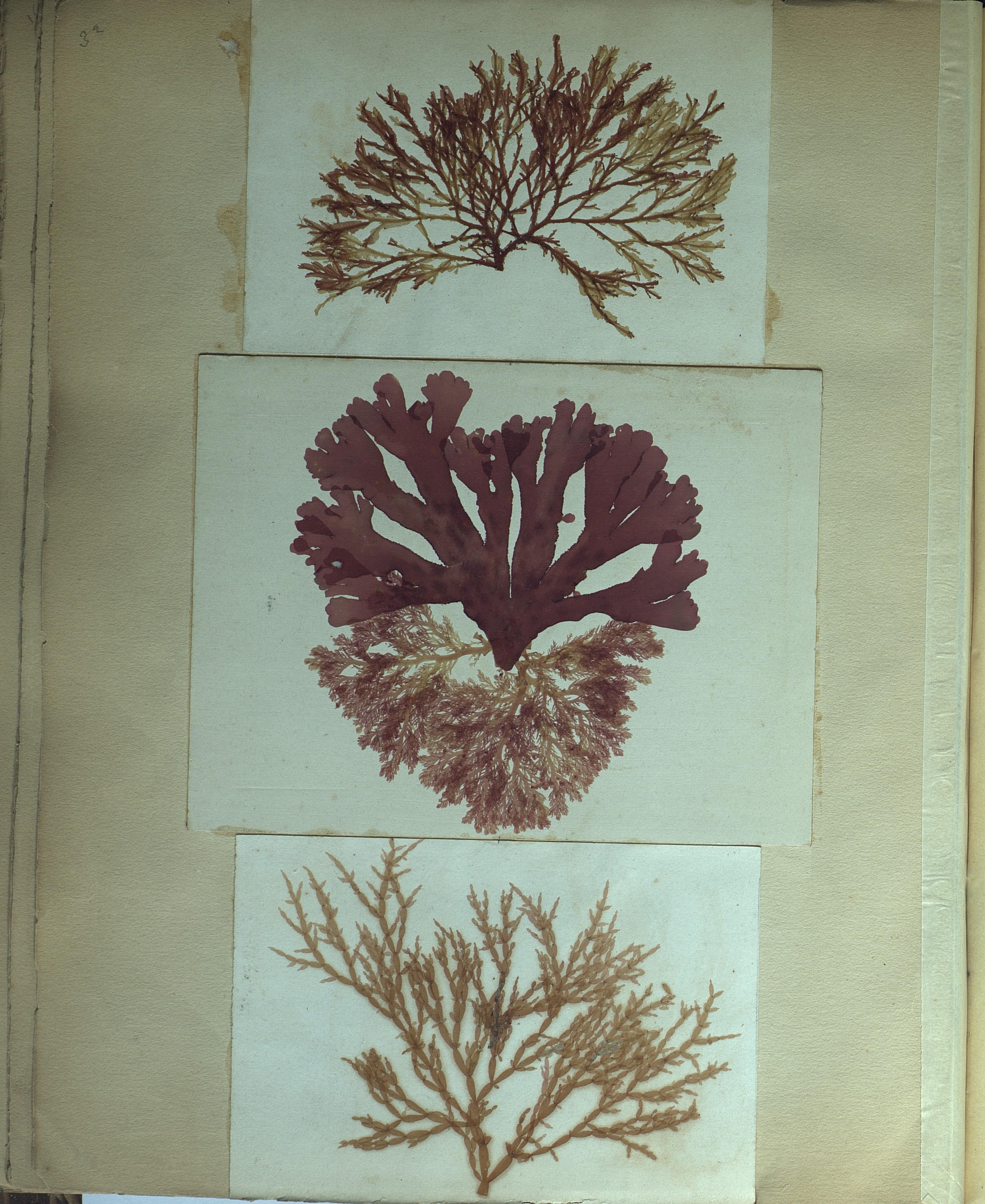 file emile carot herbier d algues marines wikimedia commons. Black Bedroom Furniture Sets. Home Design Ideas