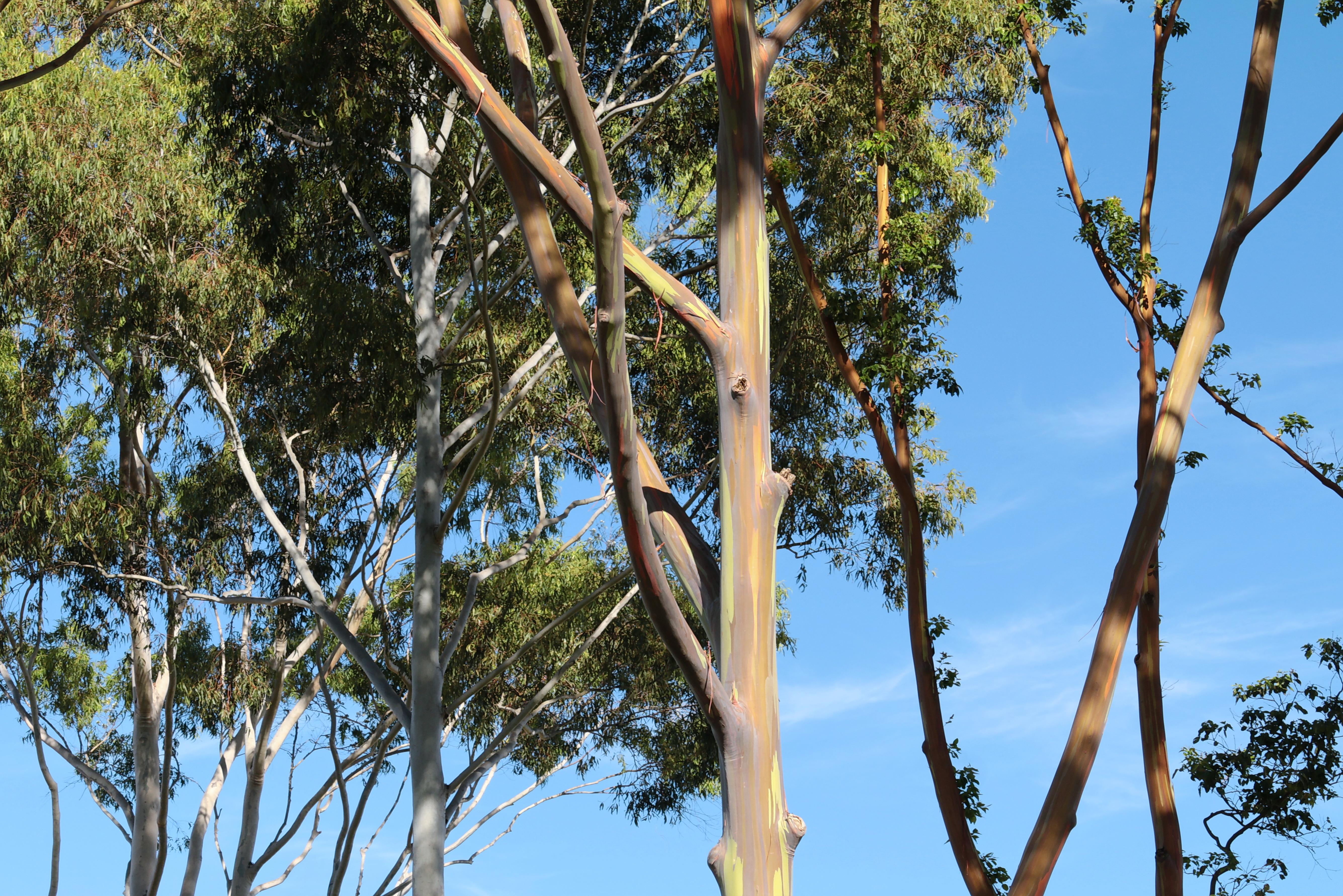 File Eucalyptus Deglupta Tree Dole Plantation Plantation Rd