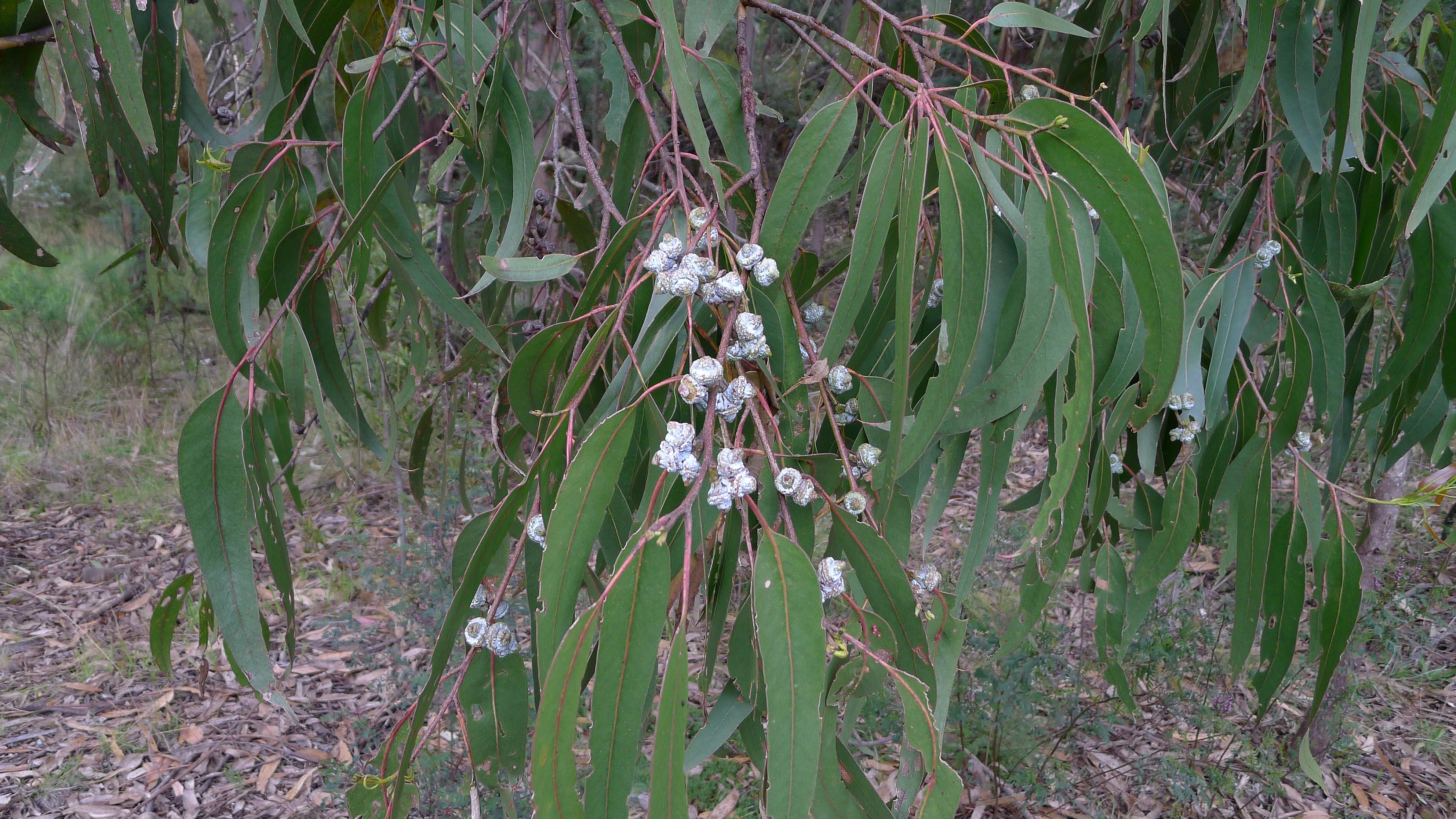 Eucalyptus cock stimulate 5