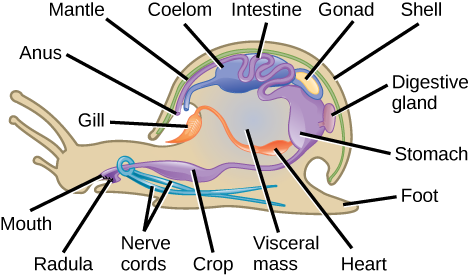 Gastropod Radula Types