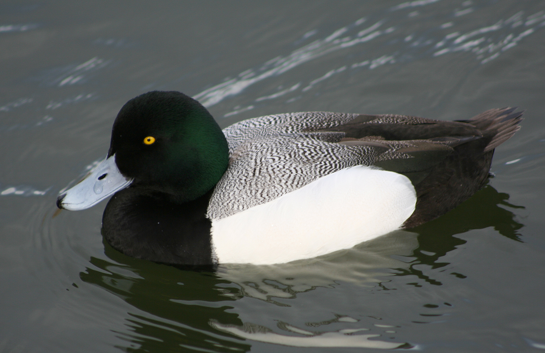 Hunting Greater Scaup in iceland